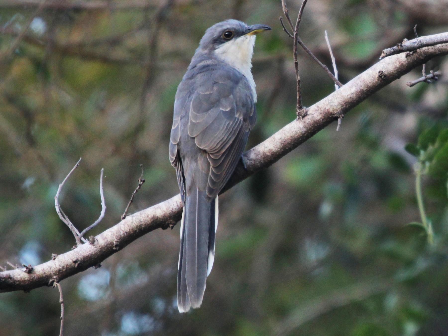 Mangrove Cuckoo - Daniel S.