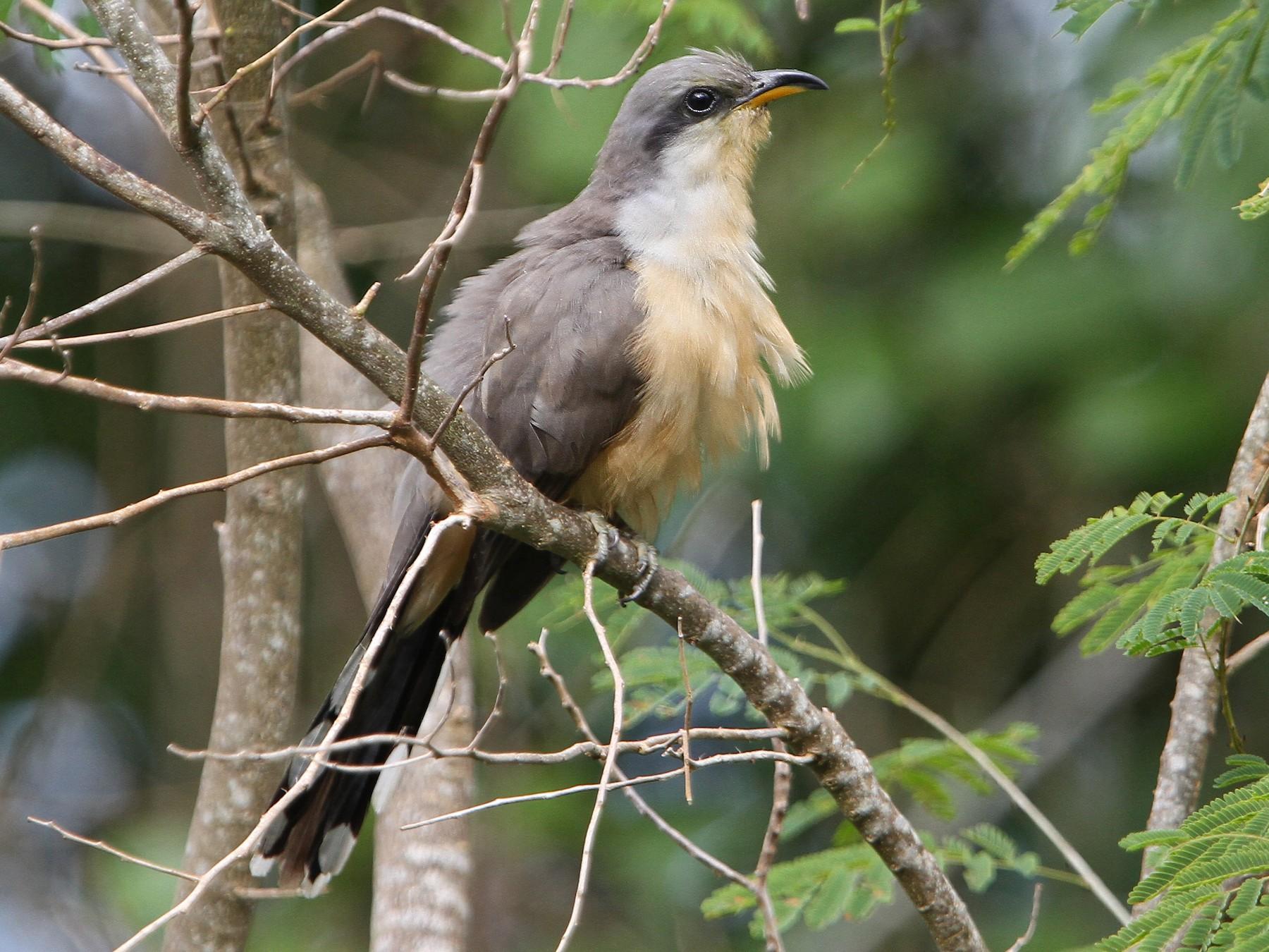 Mangrove Cuckoo - Christoph Moning