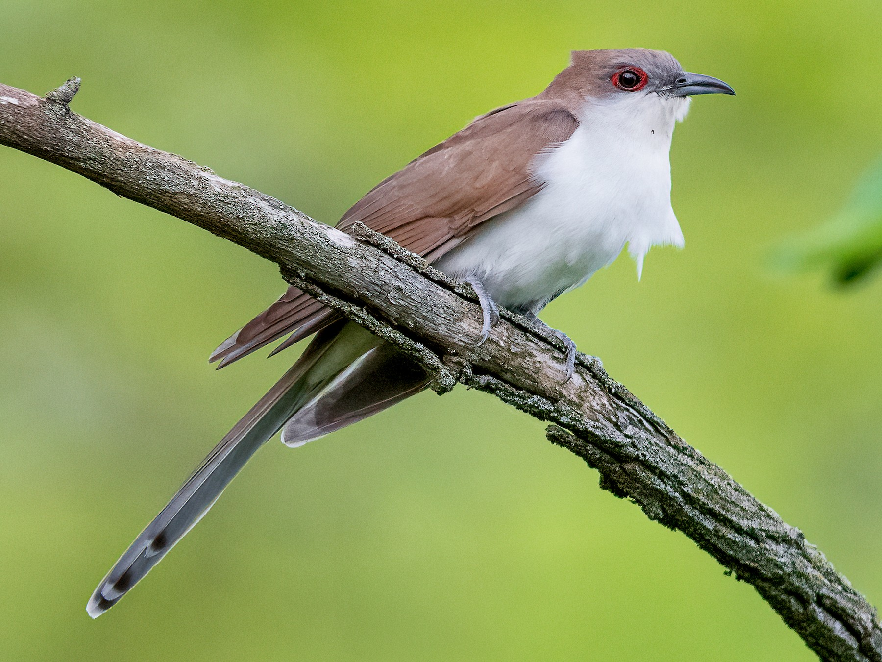 Black-billed Cuckoo - Kyle Tansley