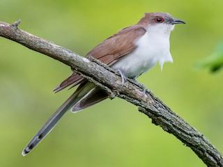 - Black-billed Cuckoo