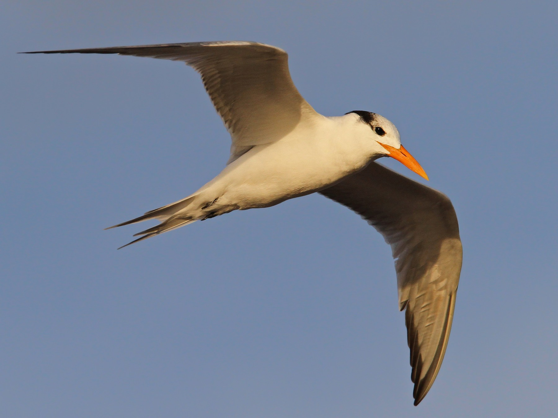 Royal Tern - Christoph Moning