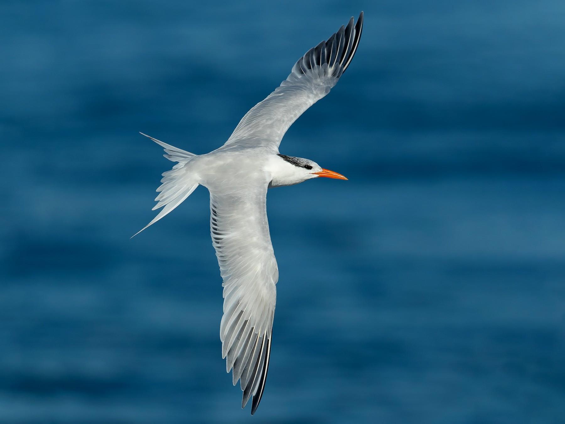 Royal Tern - Dorian Anderson