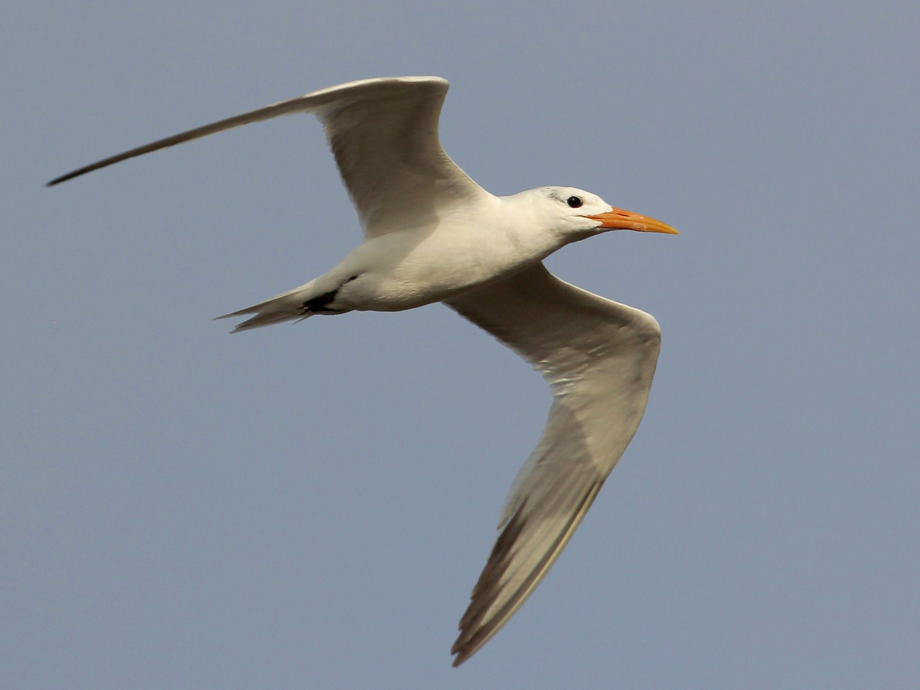 Royal Tern - Pedro Plans