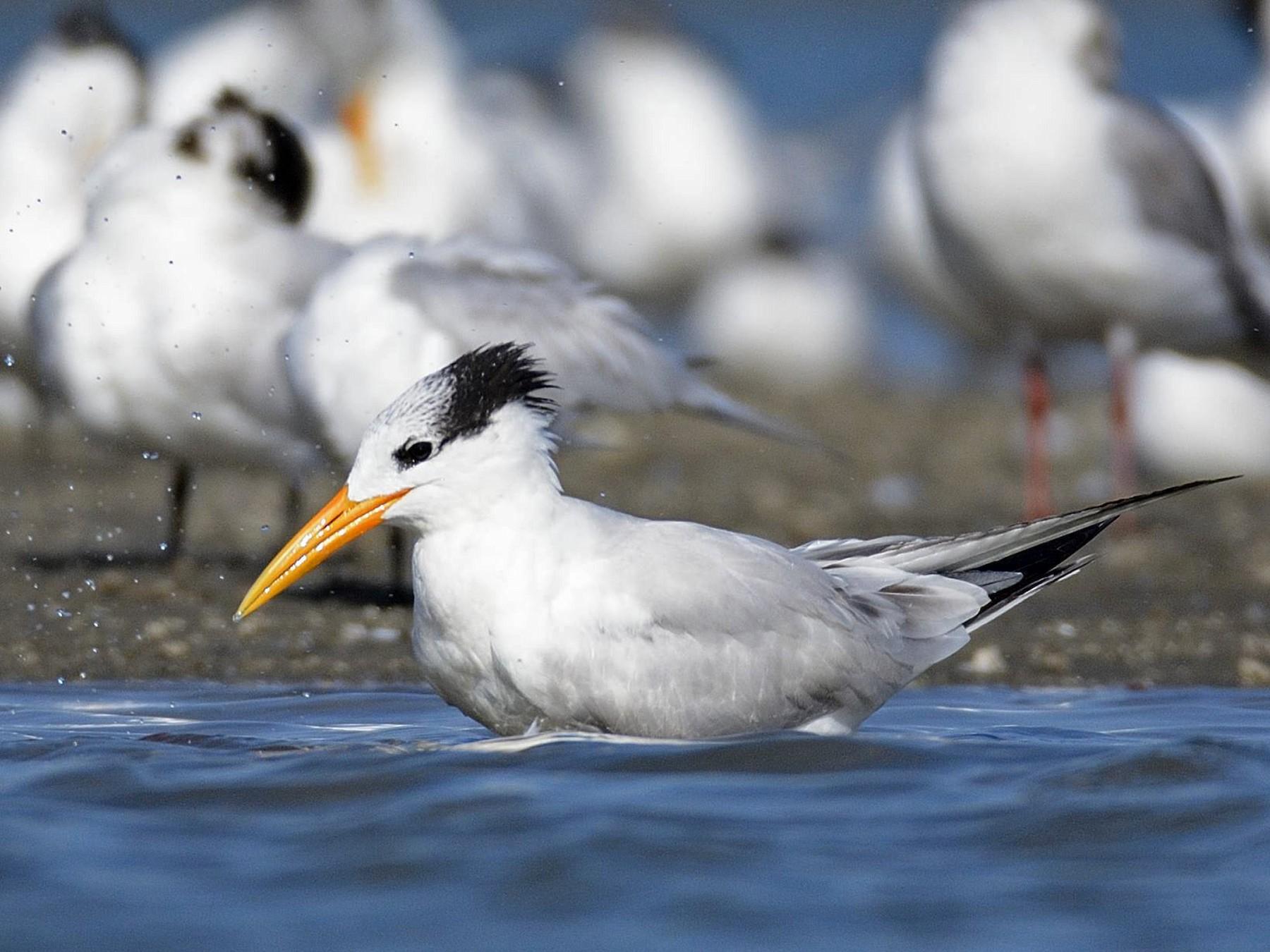 Royal Tern - Eric francois Roualet