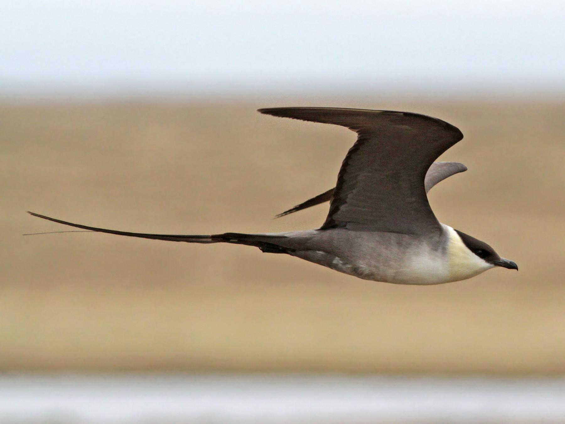 Long-tailed Jaeger - Ian Davies