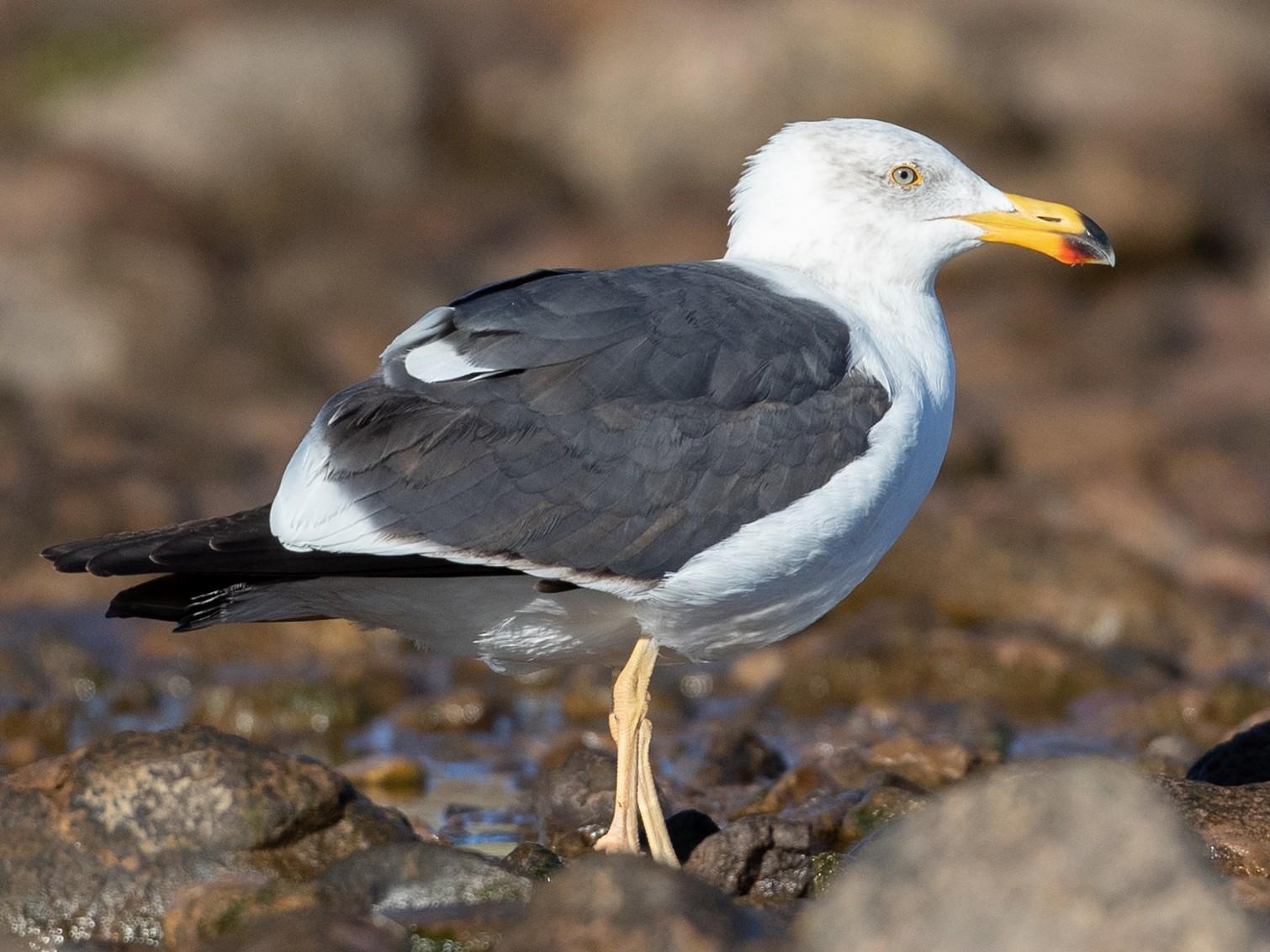 Yellow-footed Gull - Ian Davies