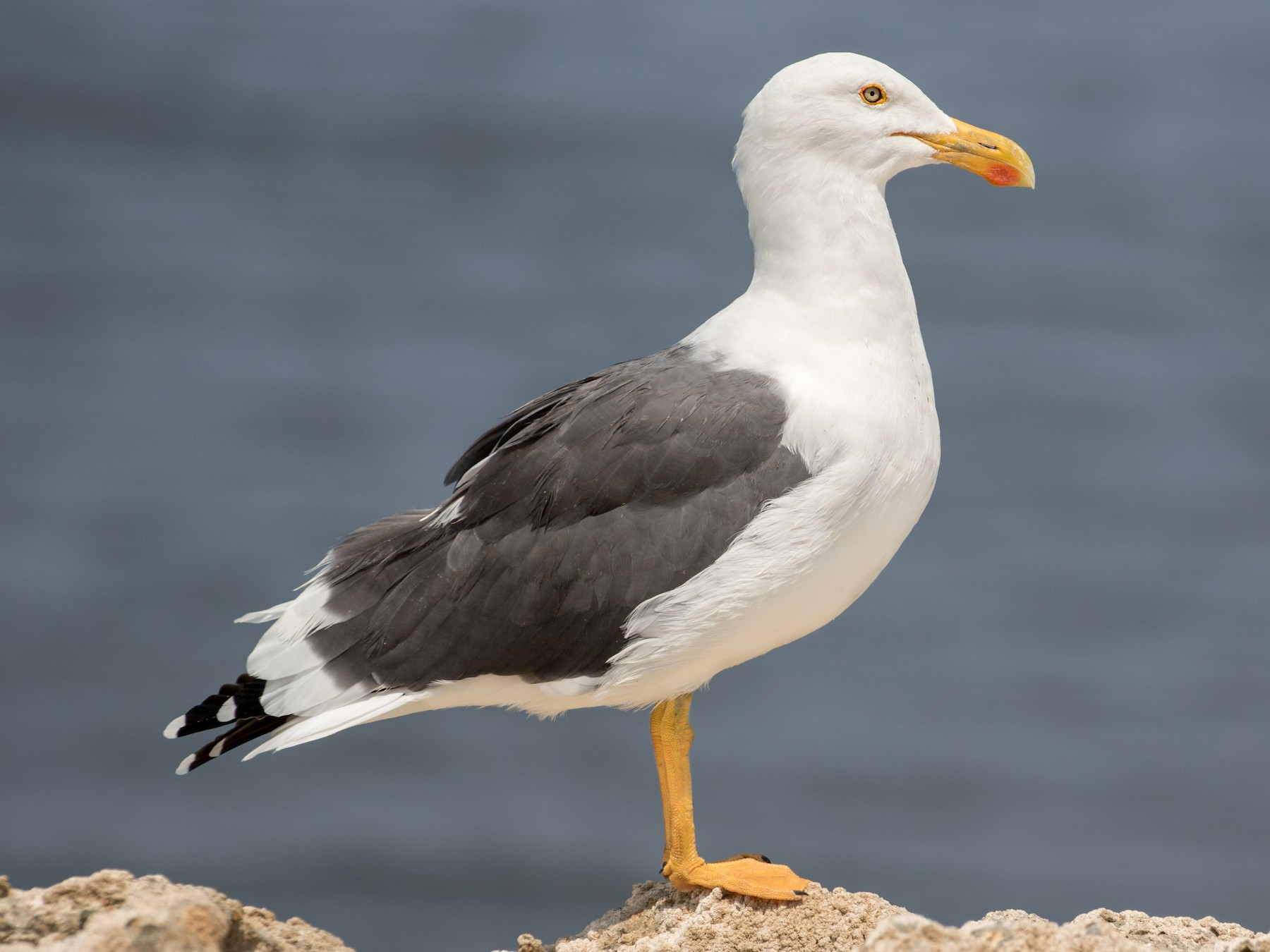 Yellow-footed Gull - Tanner Martin