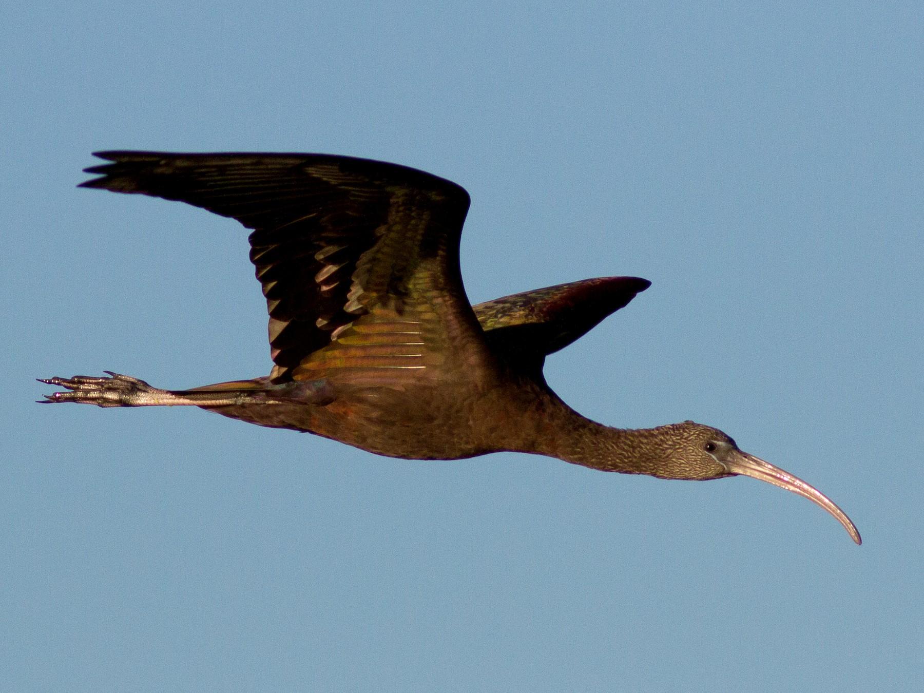 Glossy Ibis - Linda Chittum