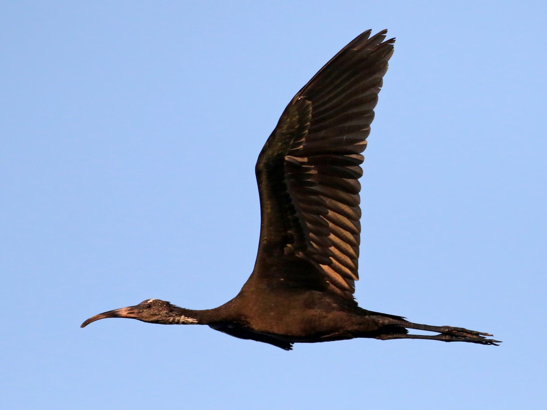 Glossy Ibis - Jay McGowan