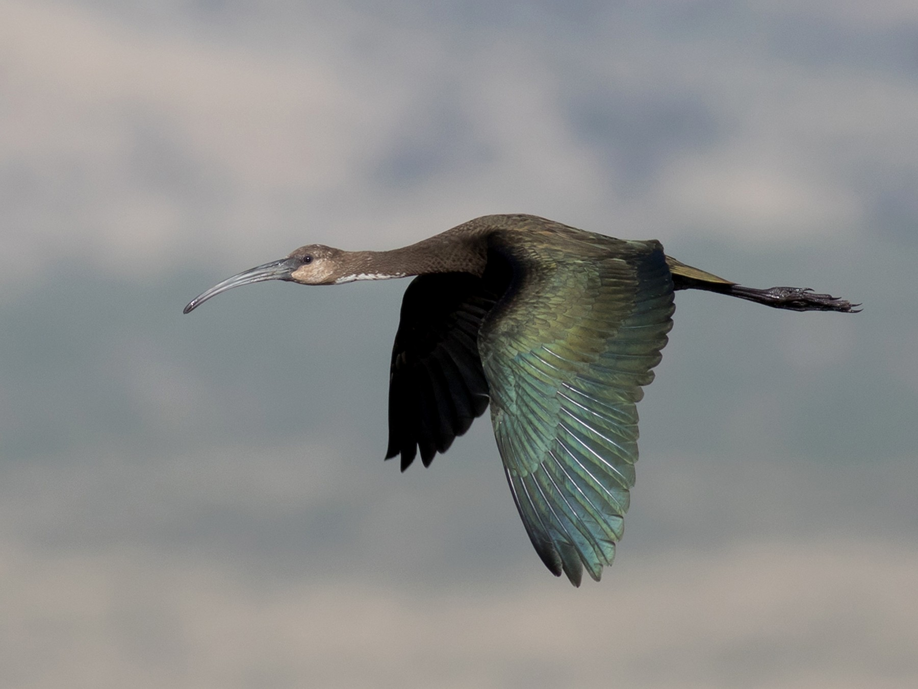 White-faced Ibis - Tom Johnson
