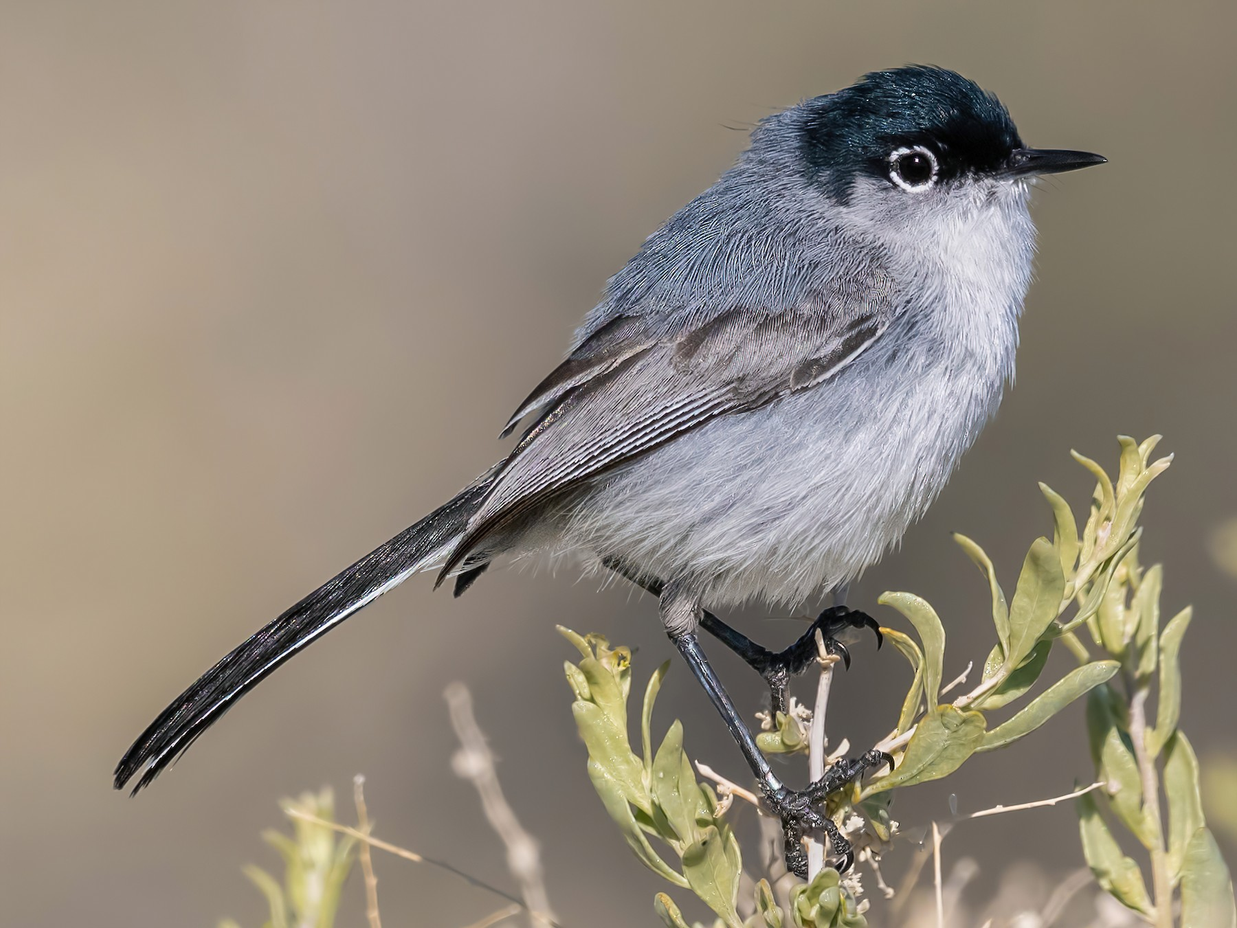 Black-tailed Gnatcatcher - Sharif Uddin