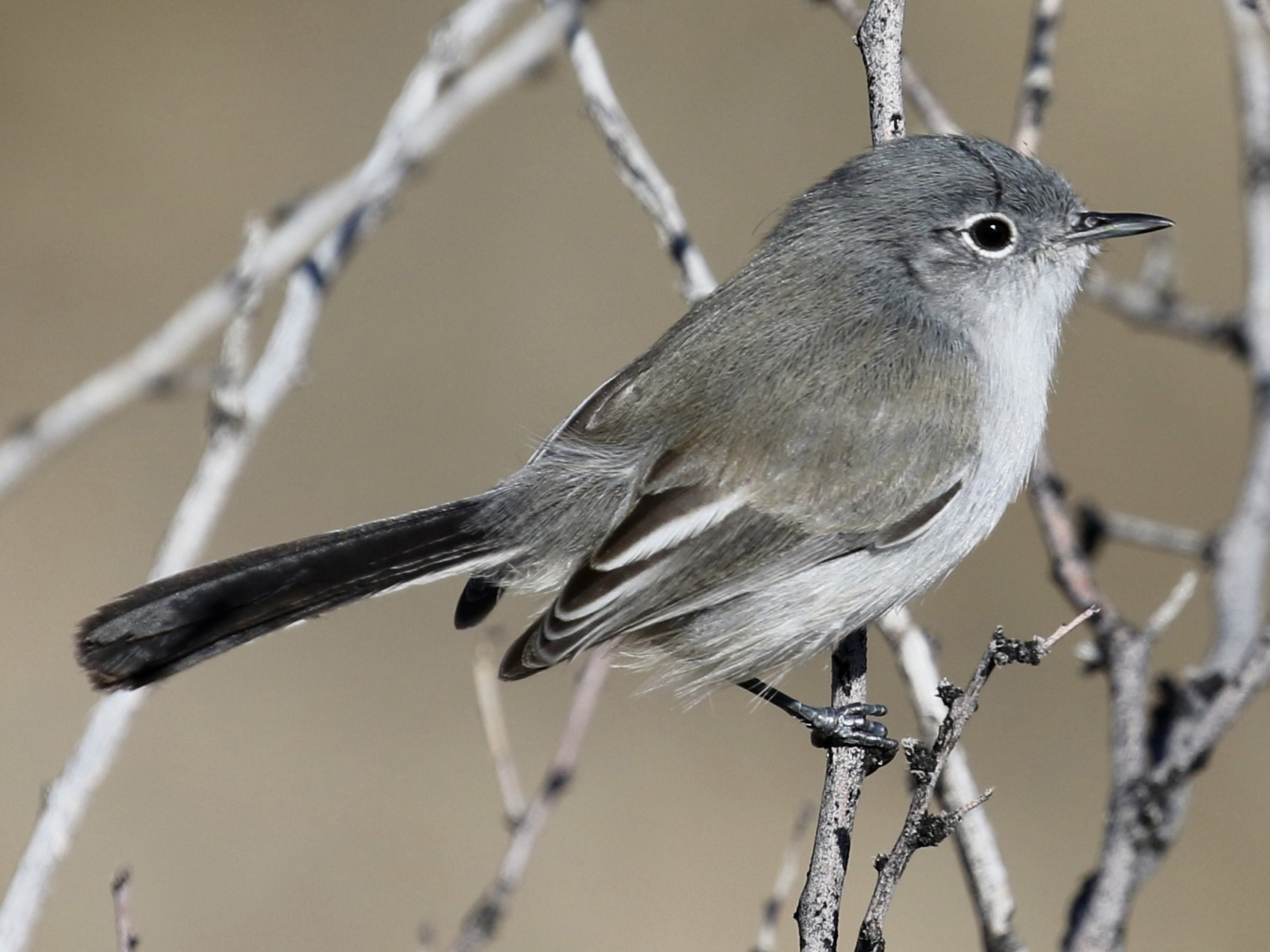 Black-tailed Gnatcatcher - Russ Morgan