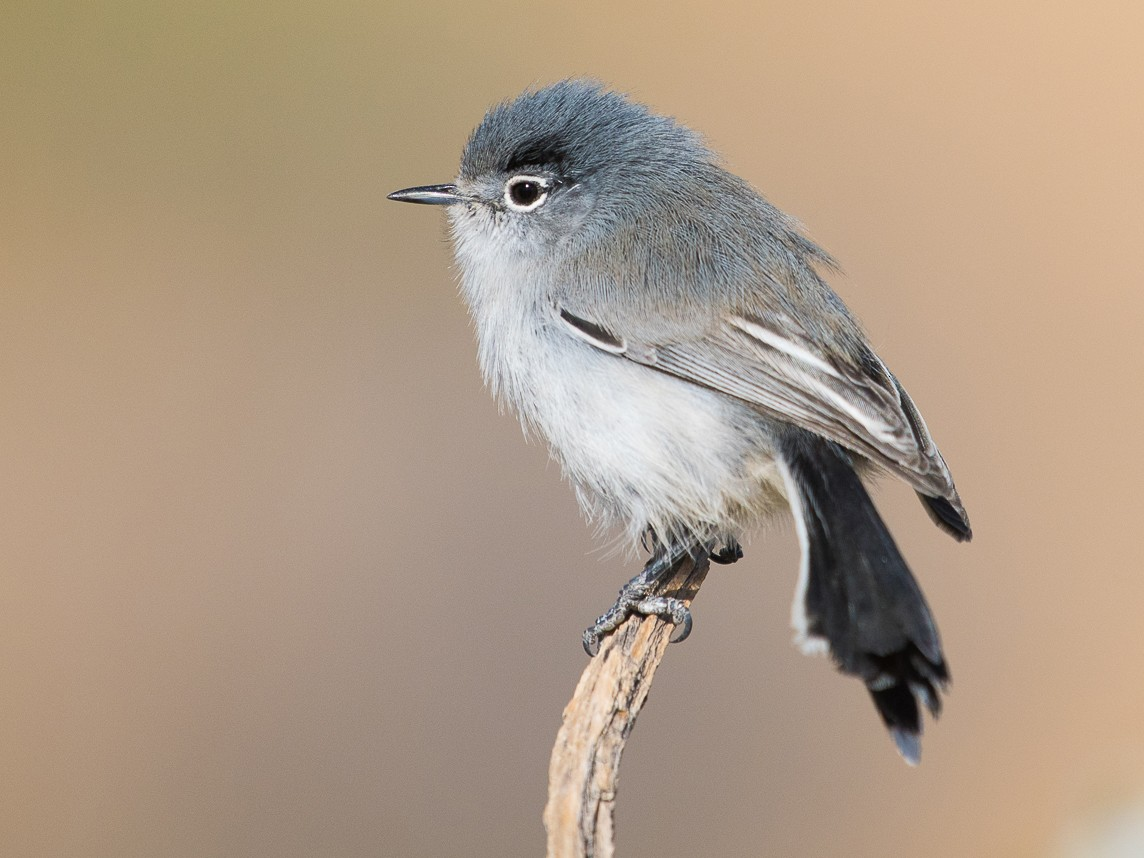 Black-tailed Gnatcatcher - Adam Jackson
