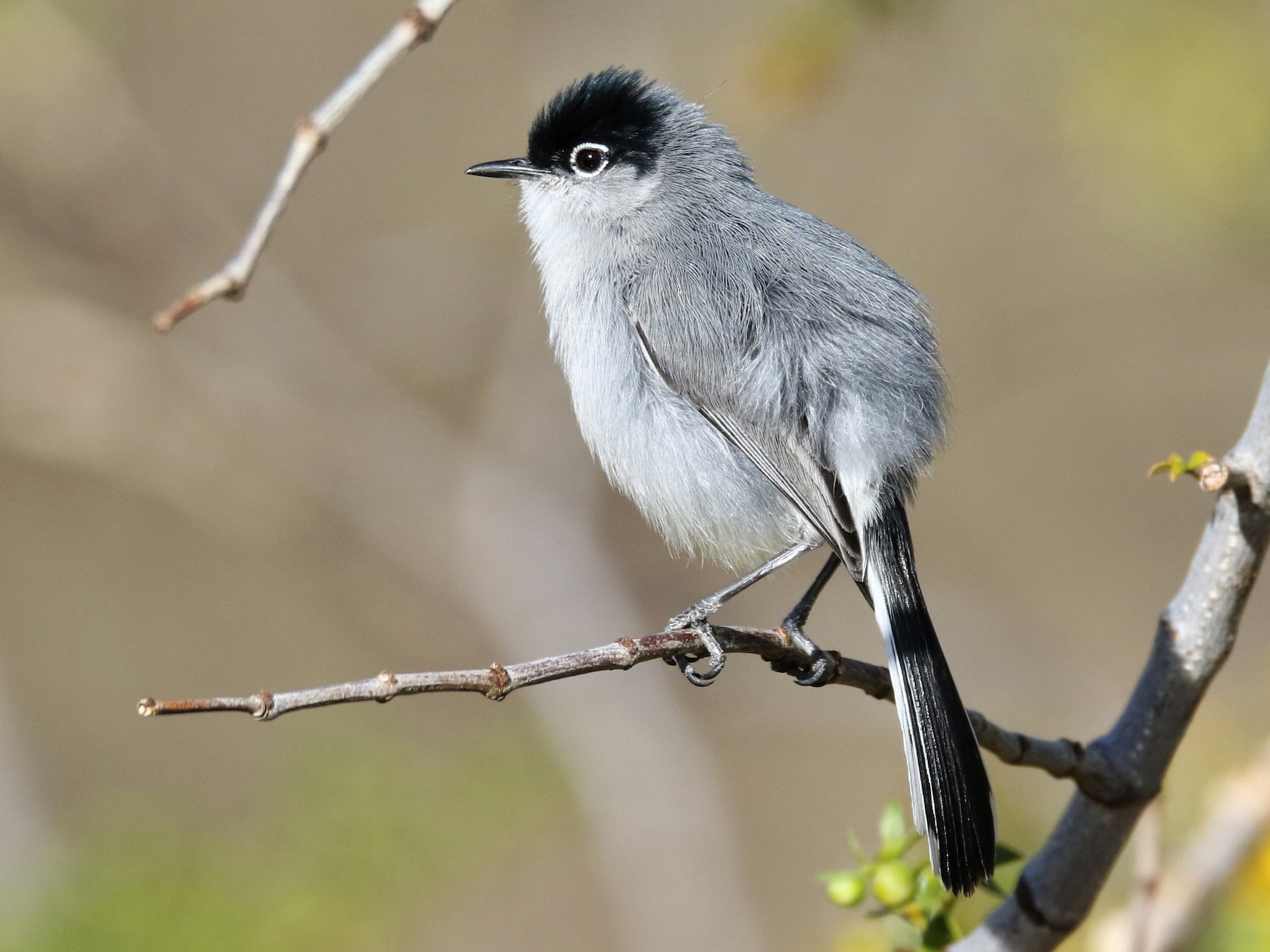 Black-tailed Gnatcatcher - Louis Hoeniger