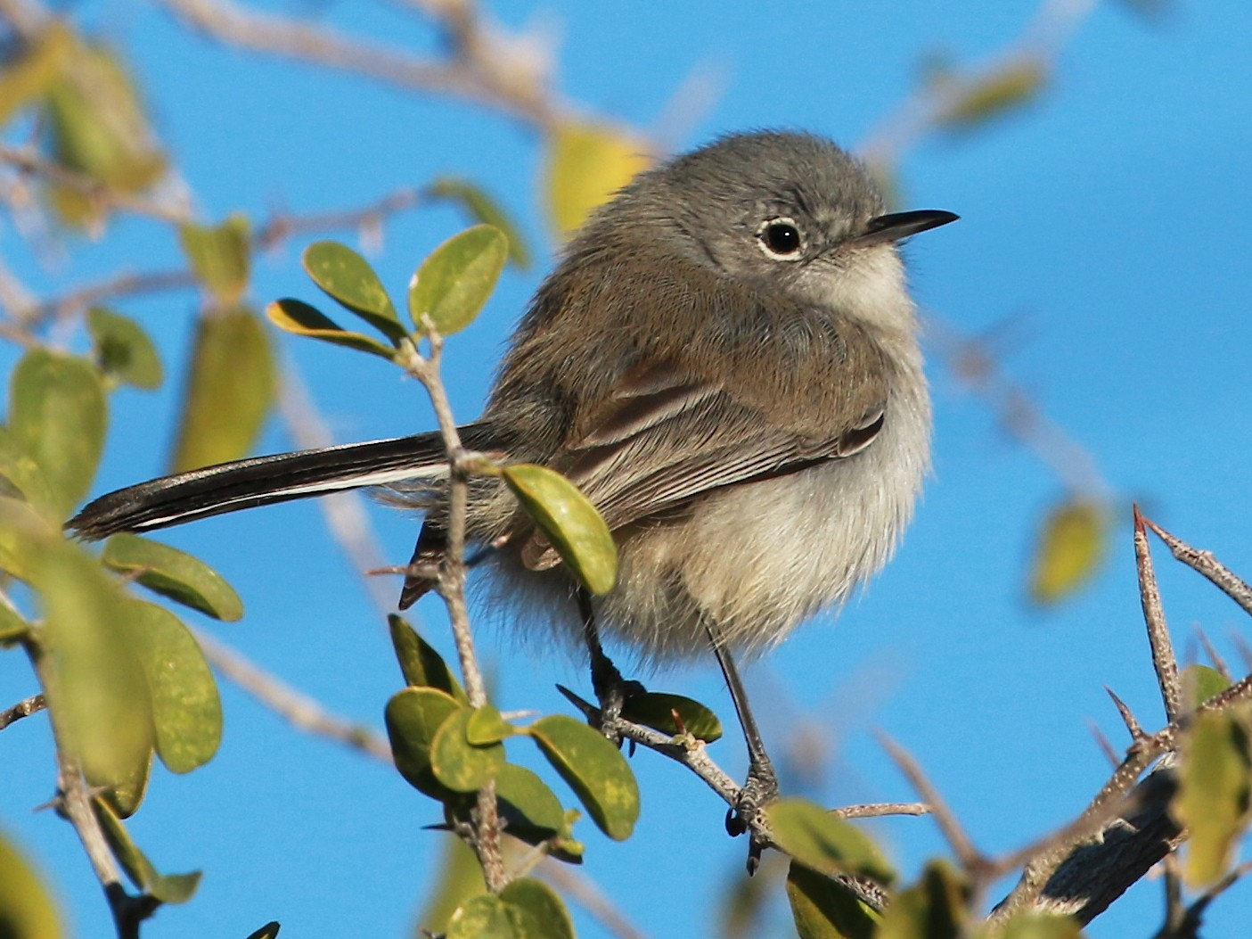 Black-tailed Gnatcatcher - David Stejskal