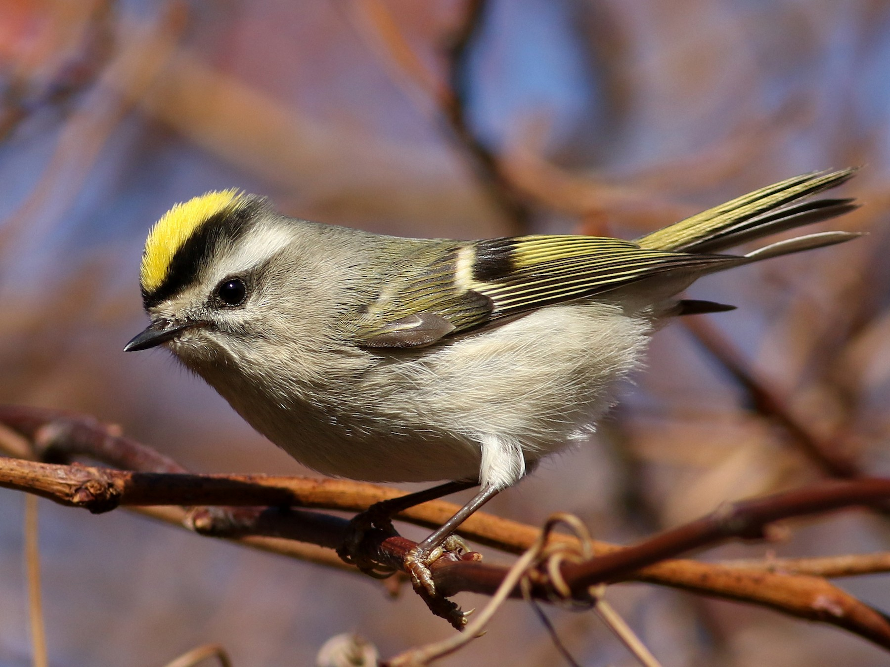 Golden-crowned Kinglet - Matthew Eckerson