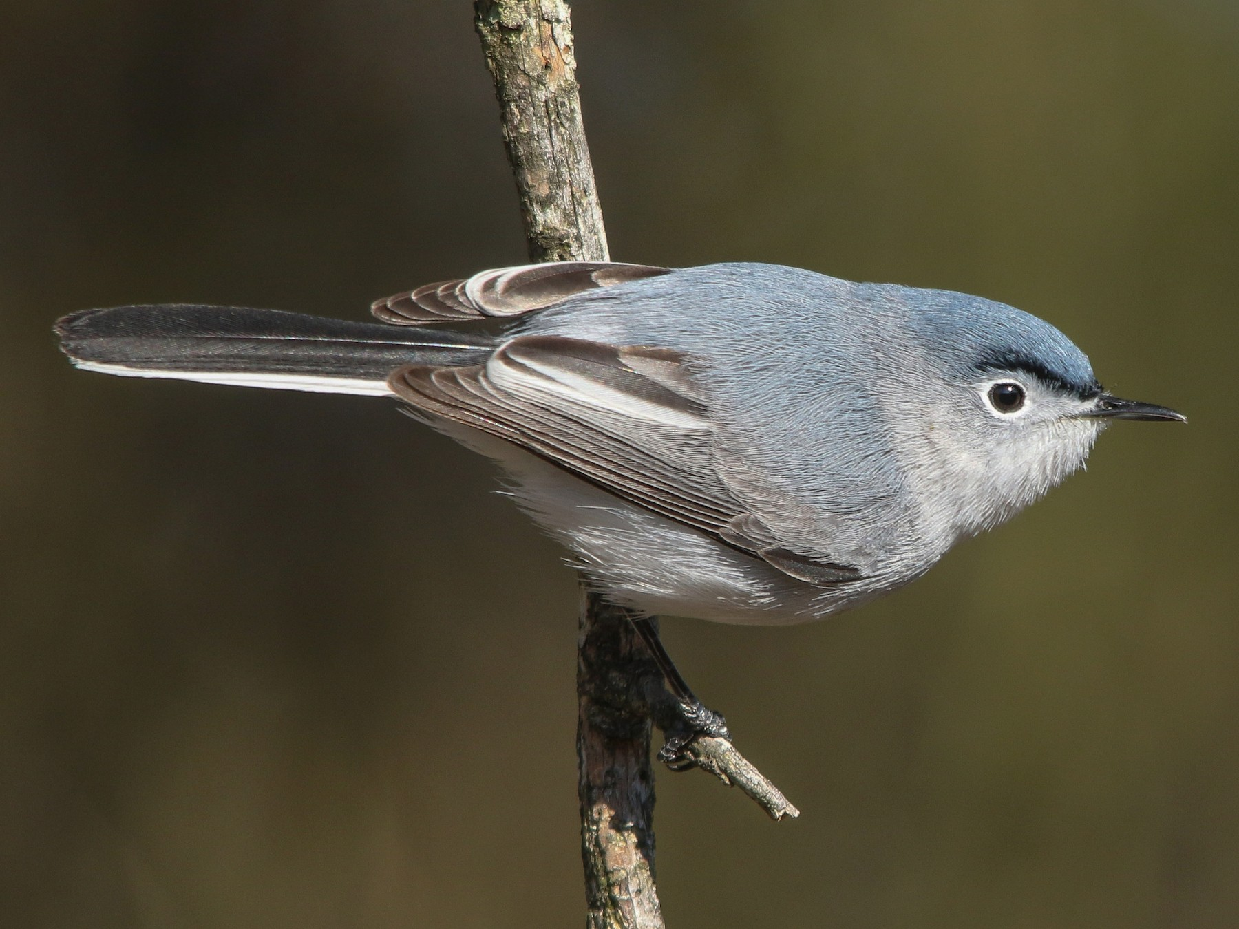 Blue-gray Gnatcatcher - Kojo Baidoo