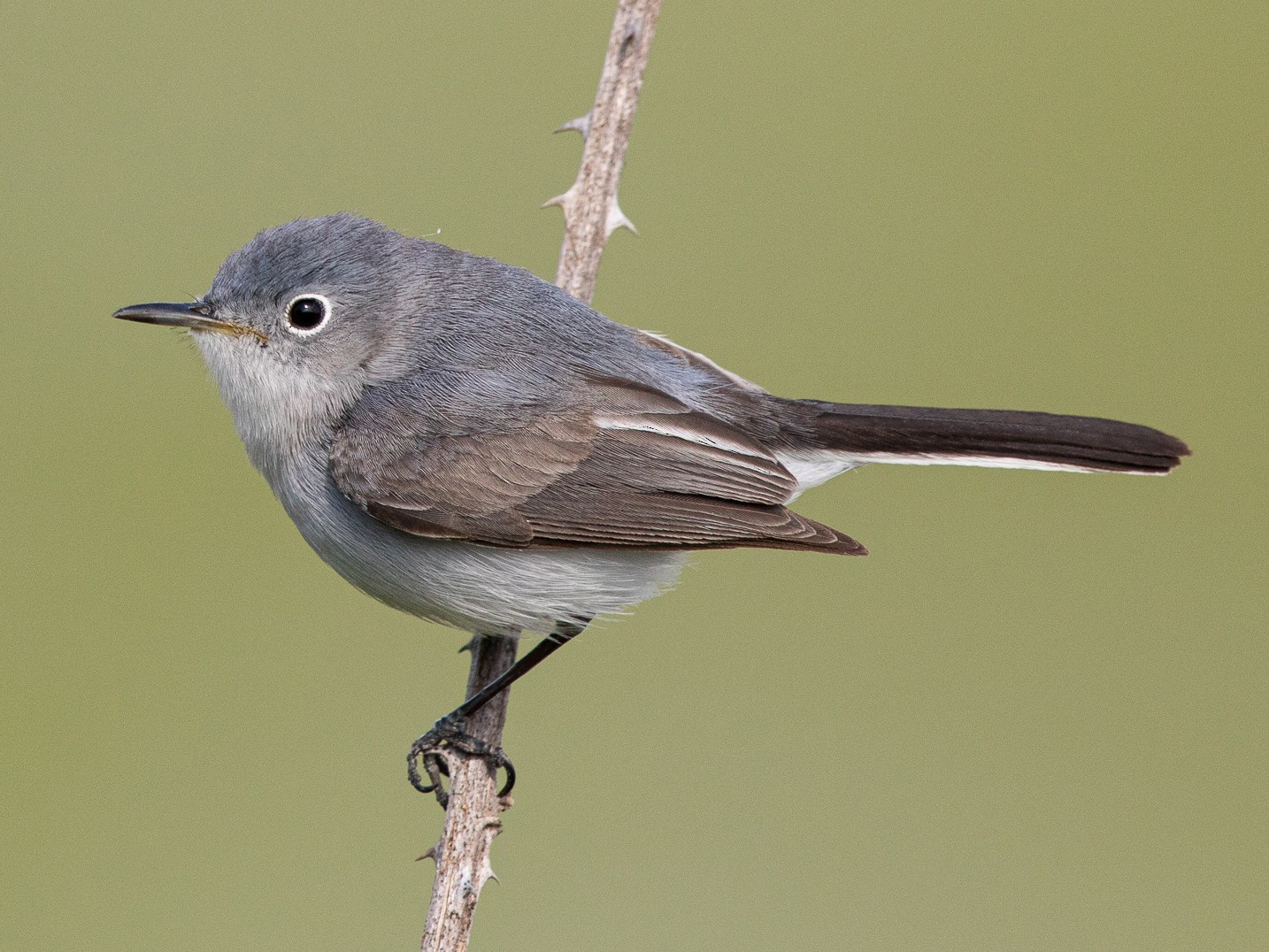 Blue-gray Gnatcatcher - John Whigham