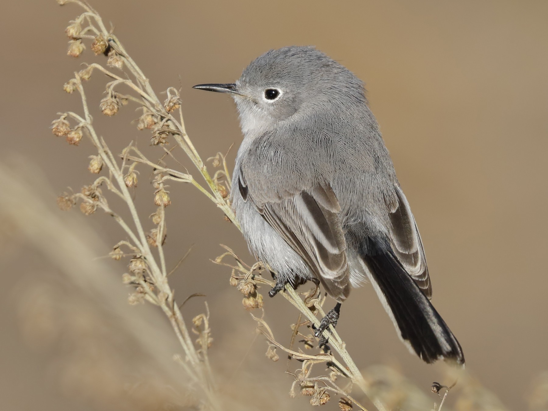 Blue-gray Gnatcatcher - Sharif Uddin