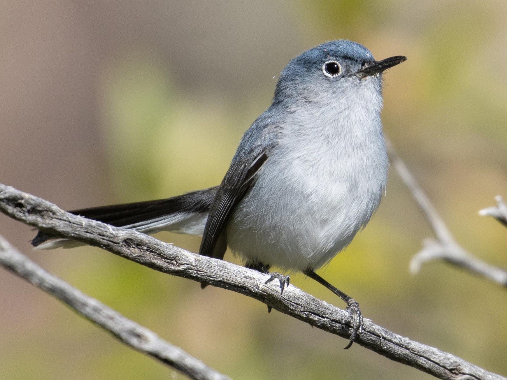 Blue-gray Gnatcatcher - Joe Aliperti