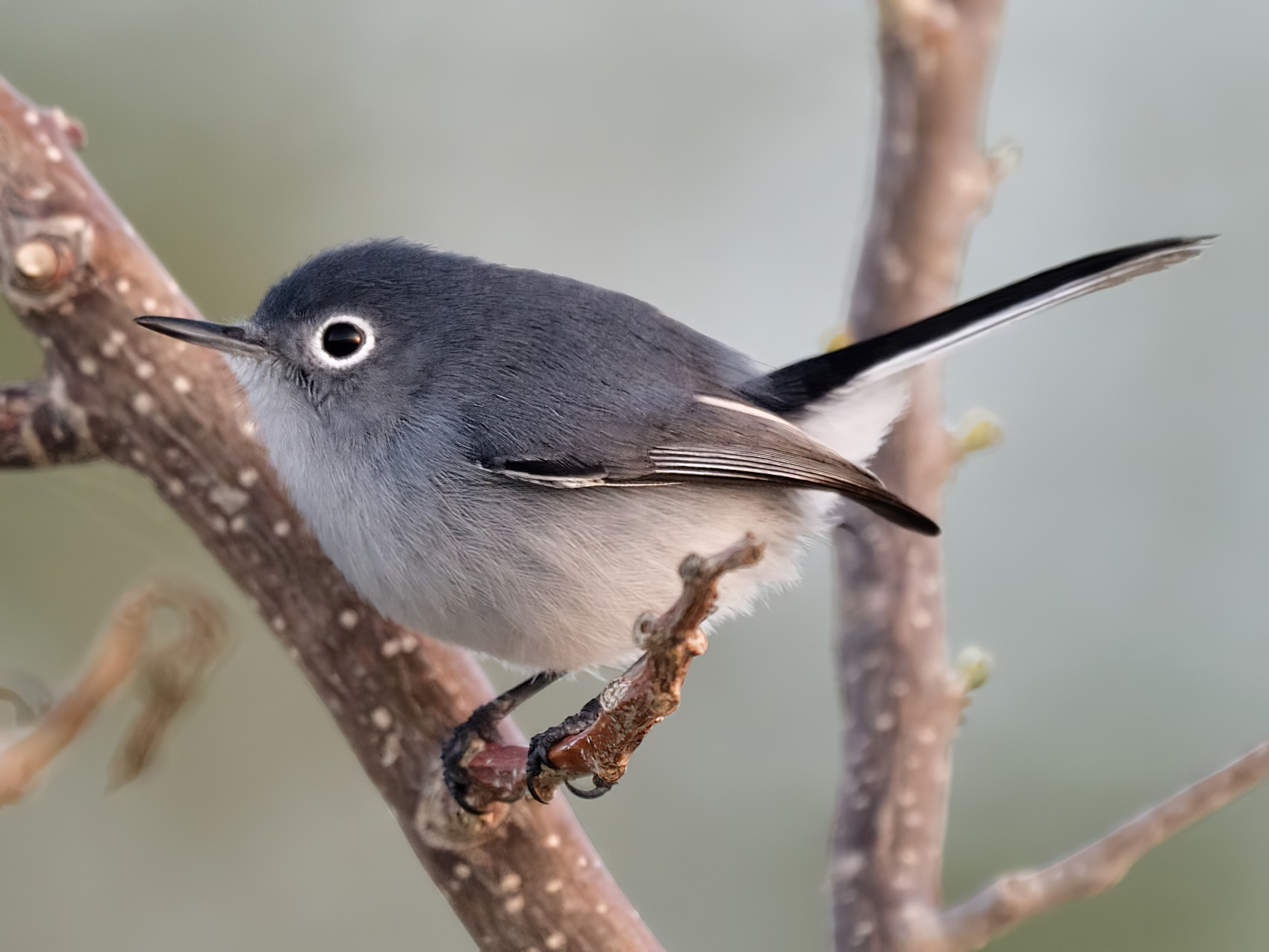 Blue-gray Gnatcatcher - Luis Guillermo