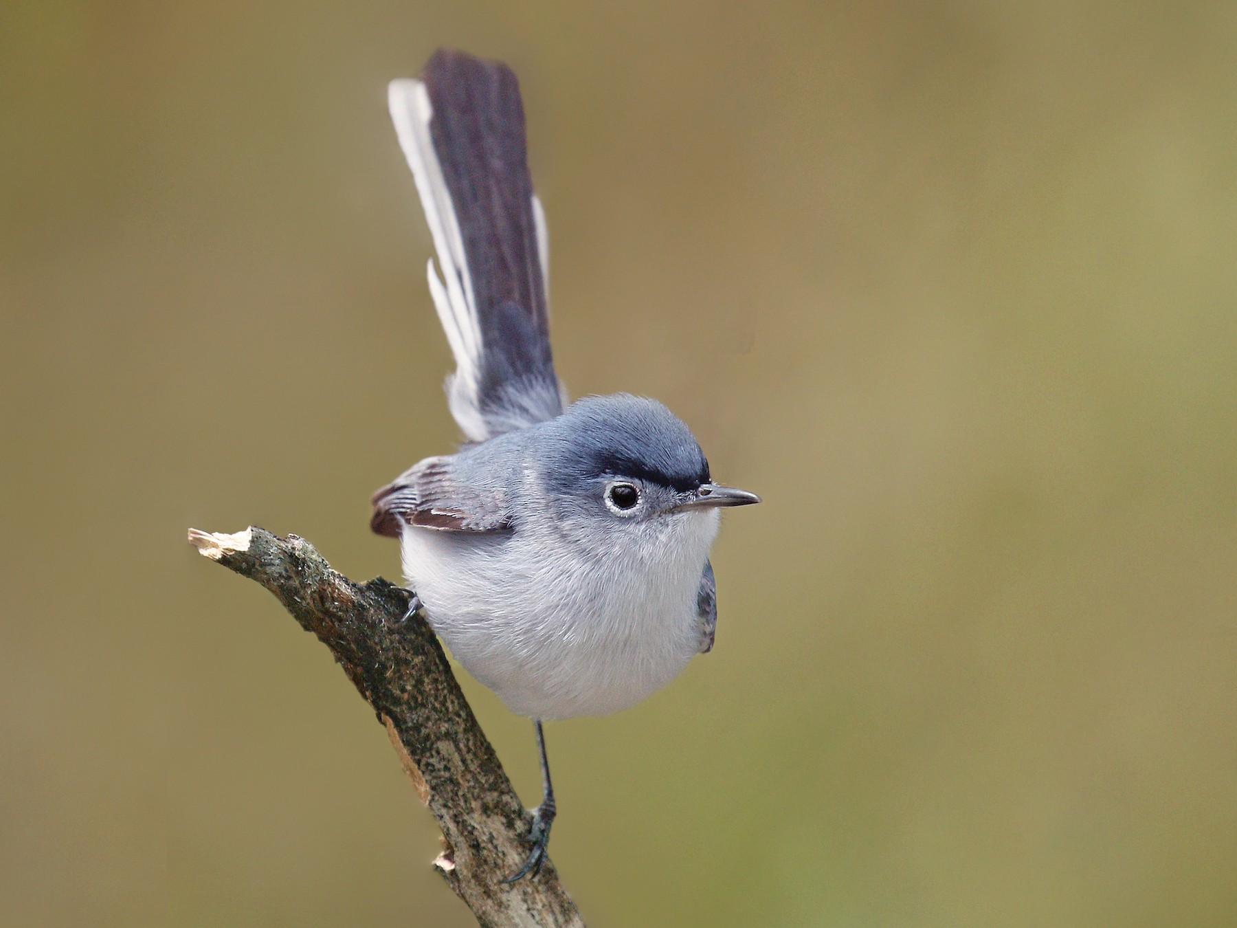 Blue-gray Gnatcatcher - Ryan Schain