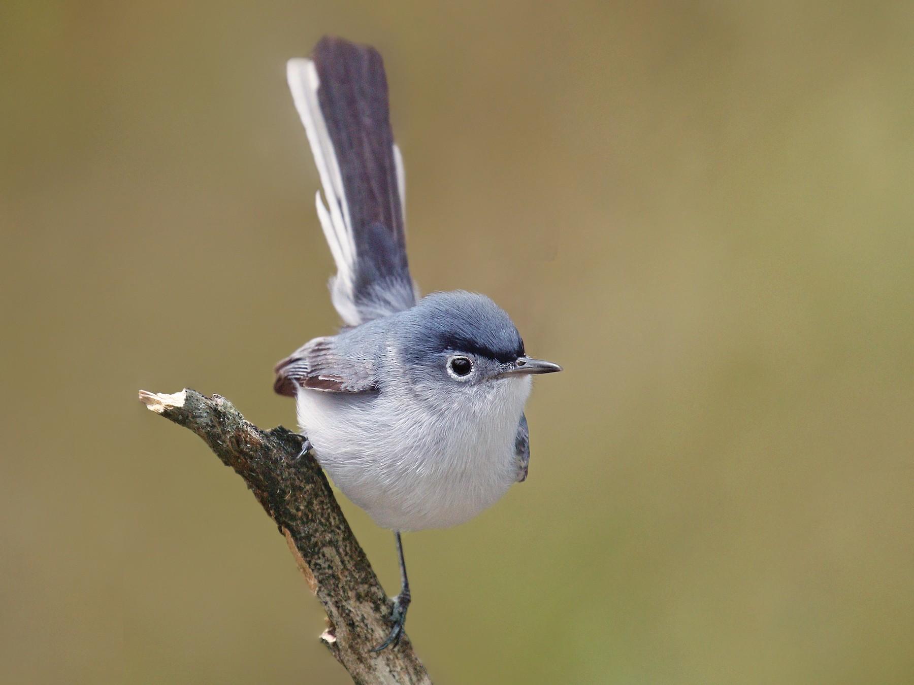 Blue-gray Gnatcatcher - Ryan Schain