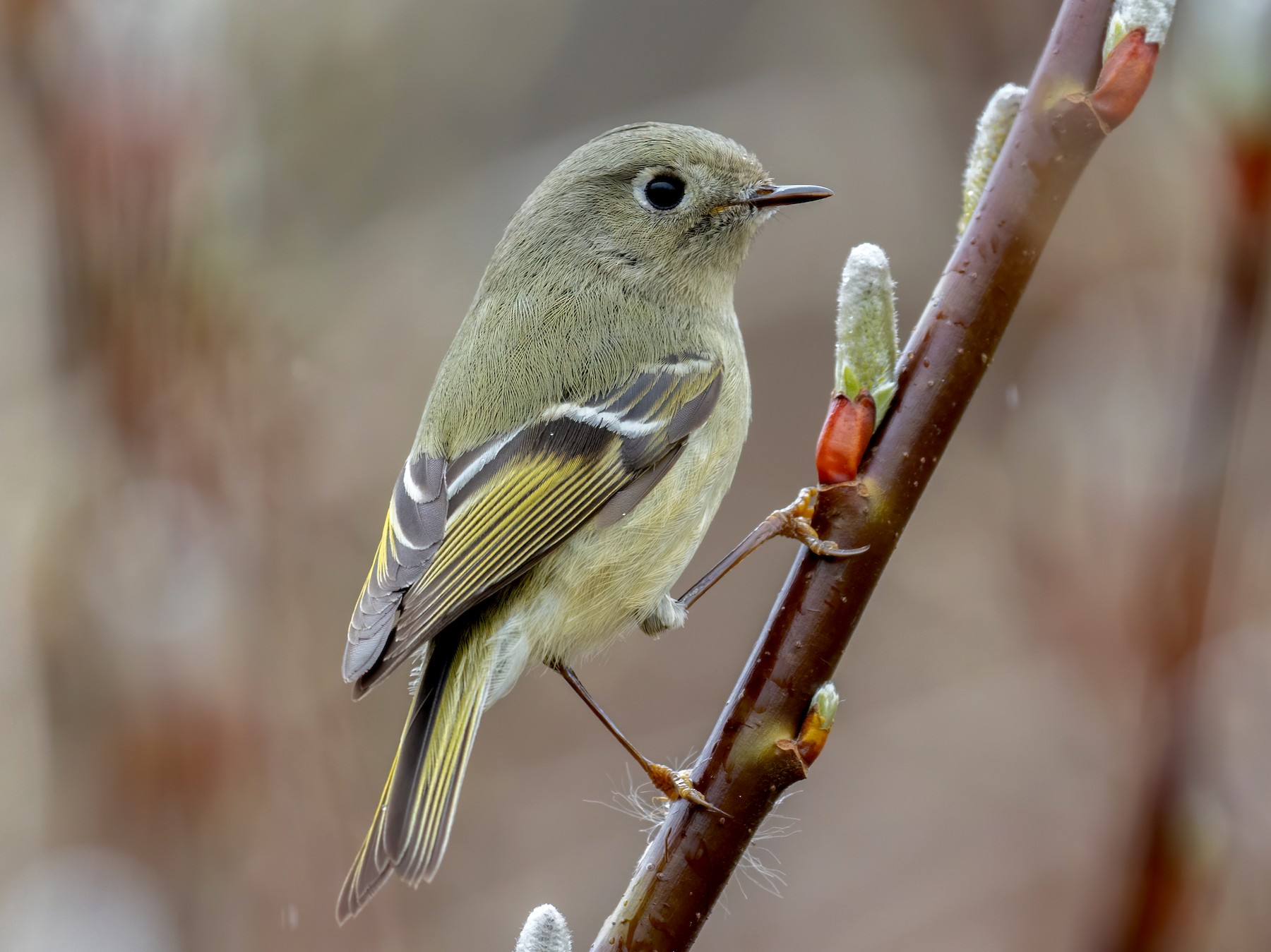 Ruby-crowned Kinglet - Eric Ellingson