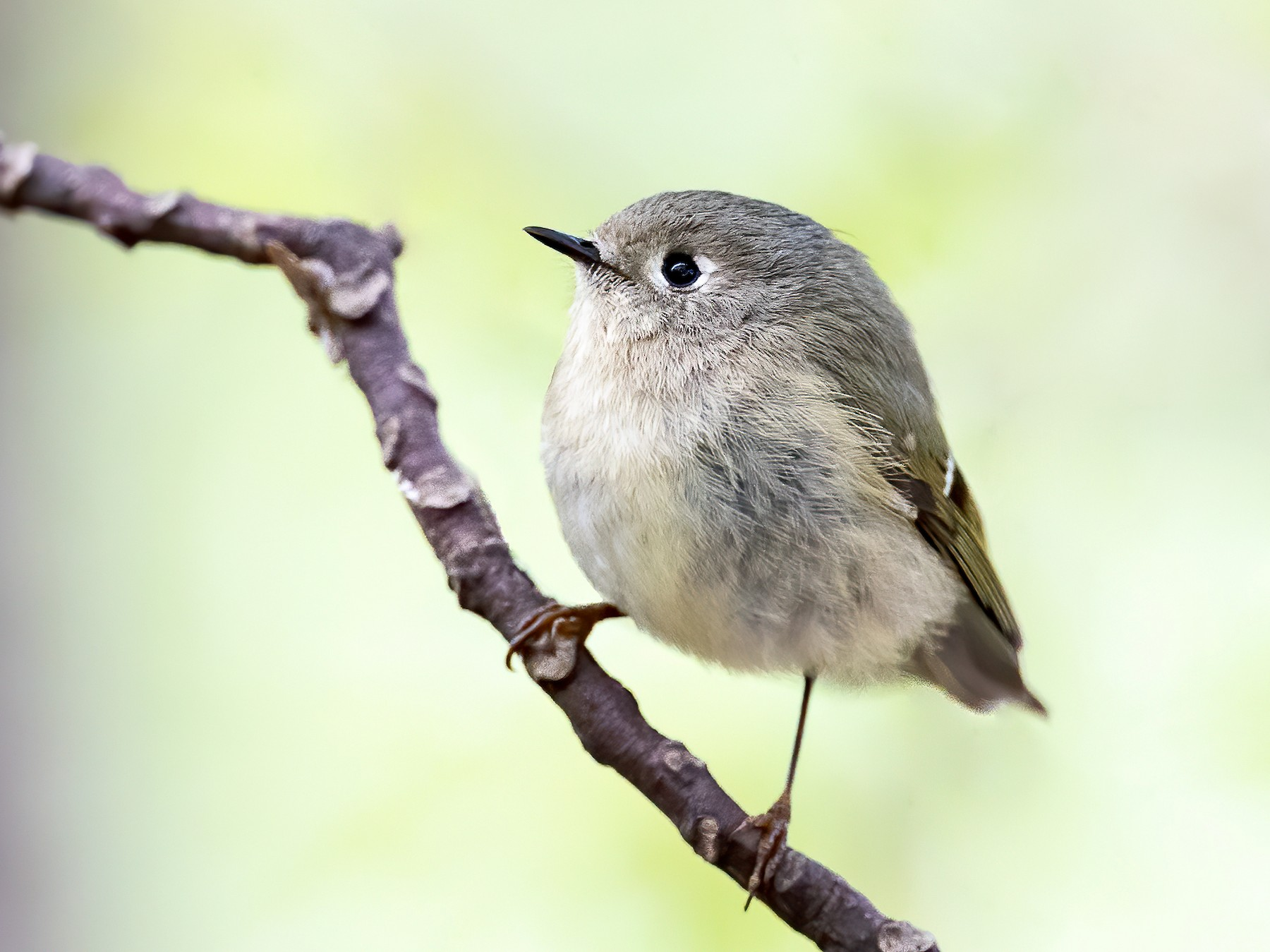 Ruby-crowned Kinglet - Ryan Sanderson