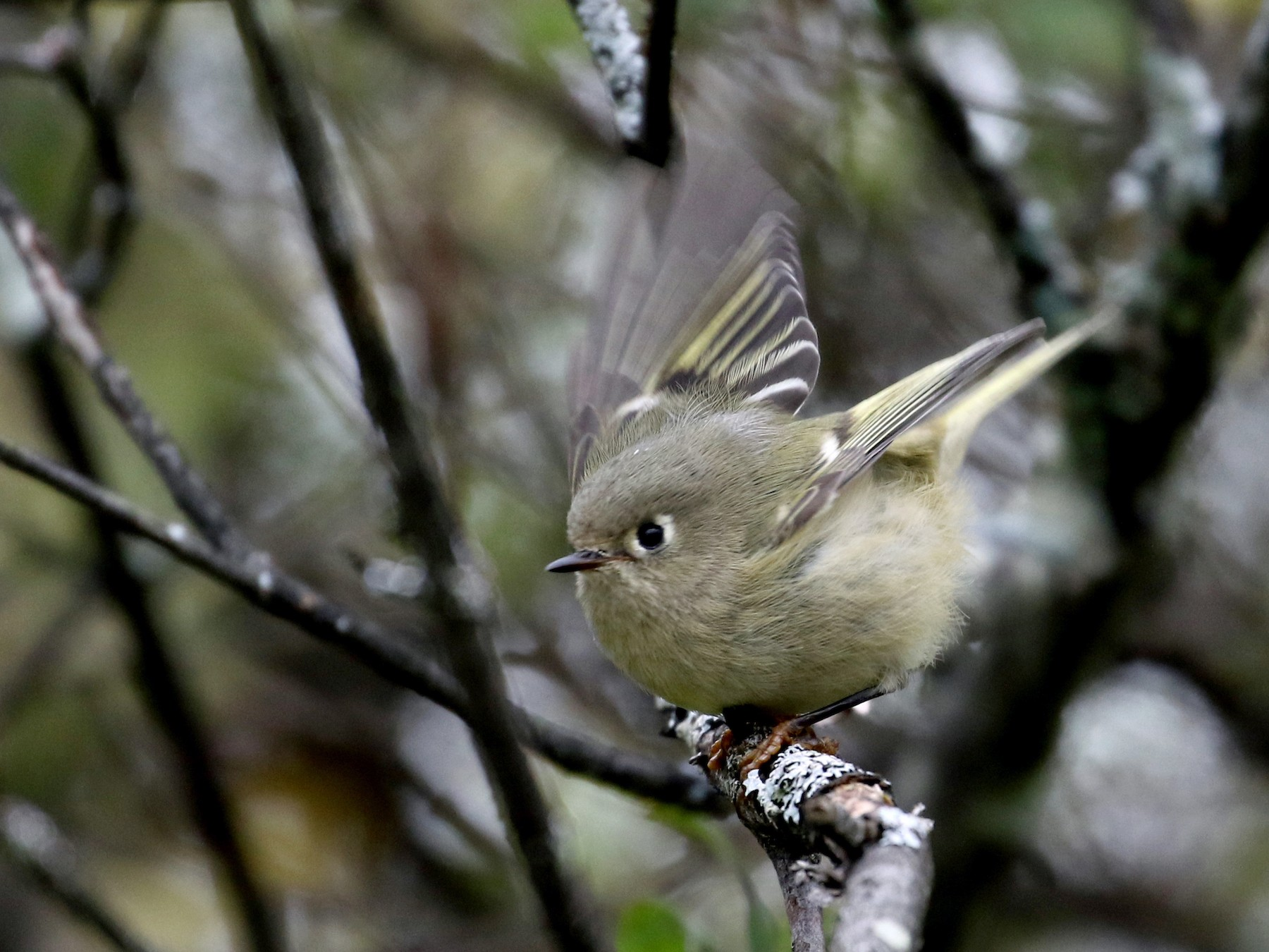 Ruby-crowned Kinglet - Jay McGowan