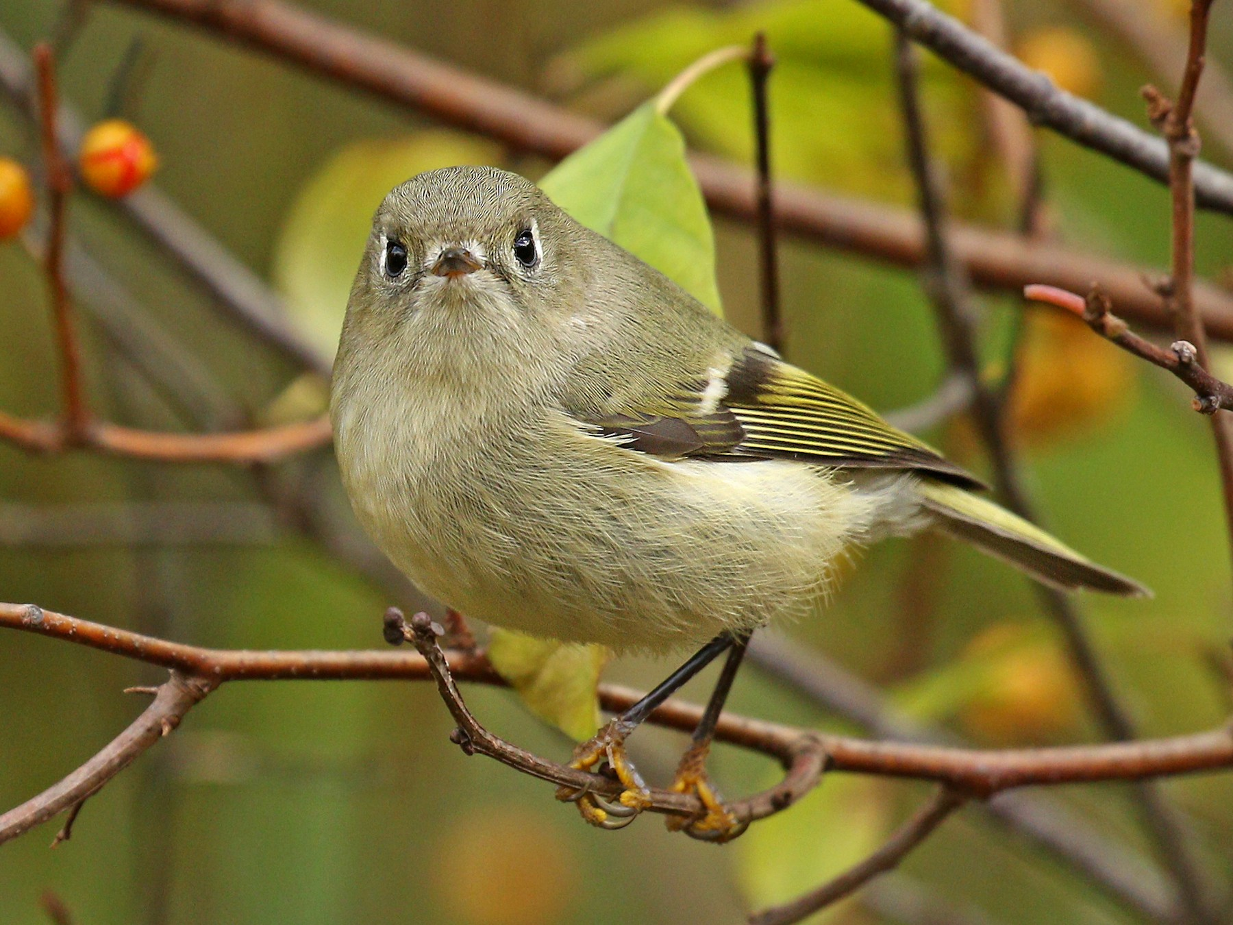 Ruby-crowned Kinglet - Ryan Schain