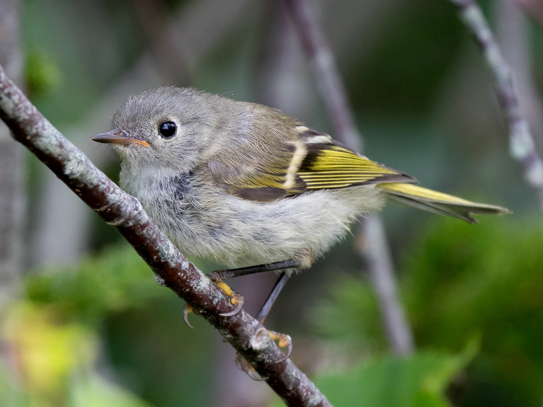 Ruby-crowned Kinglet - Lyall Bouchard