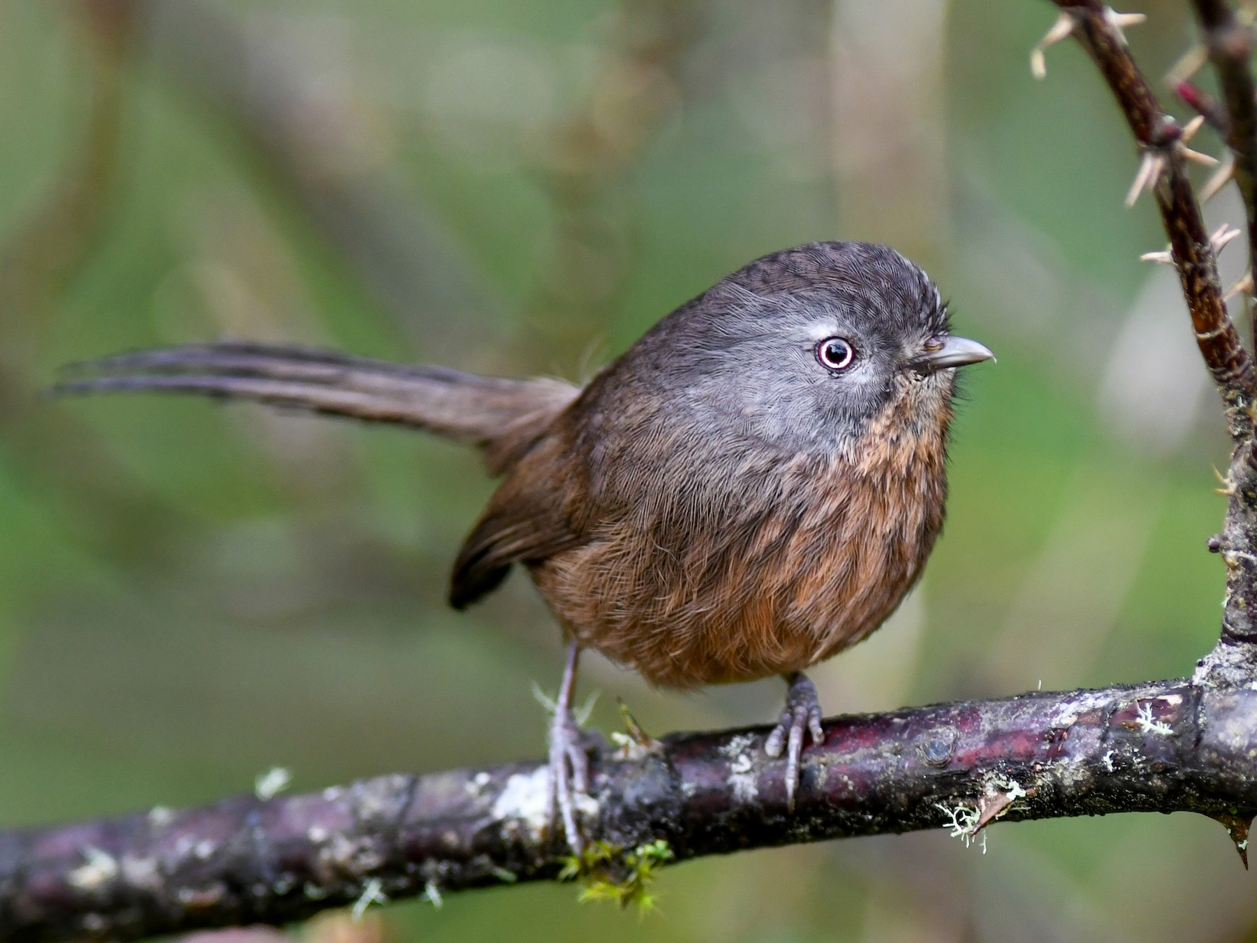 Wrentit - Mike Charest