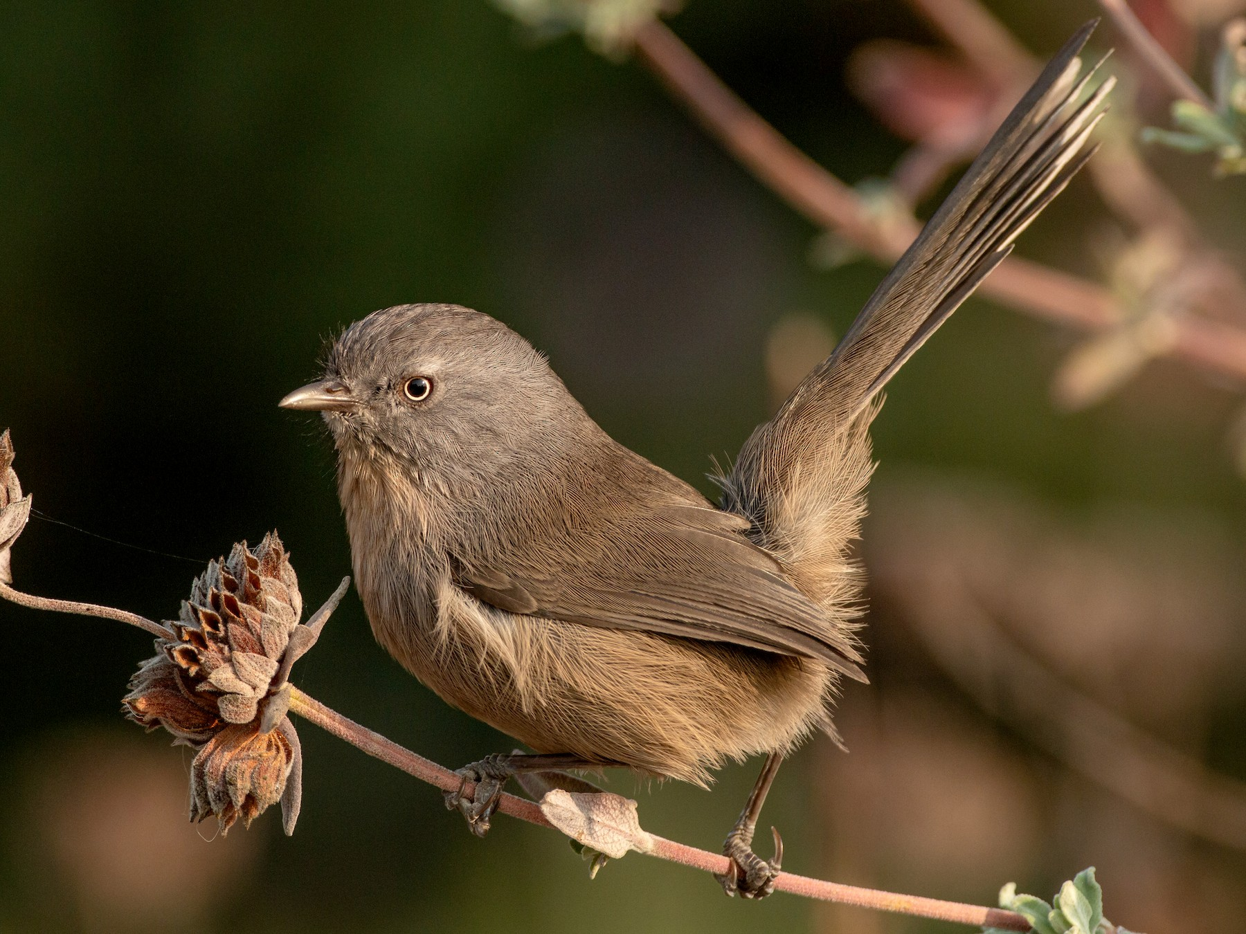 Wrentit - Paul Fenwick