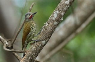 - Gray-crowned Woodpecker