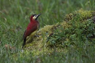 - Crimson-mantled Woodpecker (Crimson-mantled)