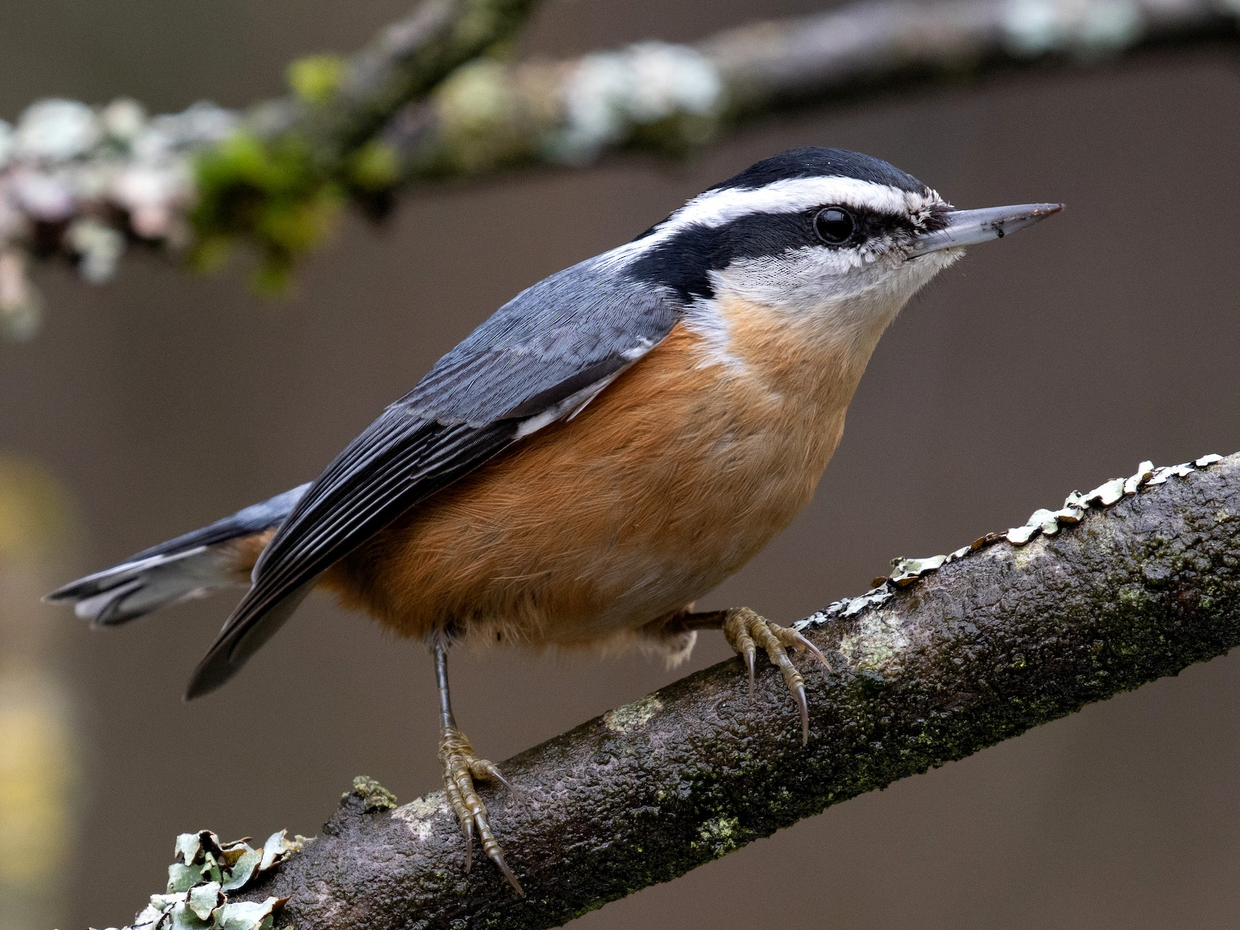 Red-breasted Nuthatch - Blair Dudeck