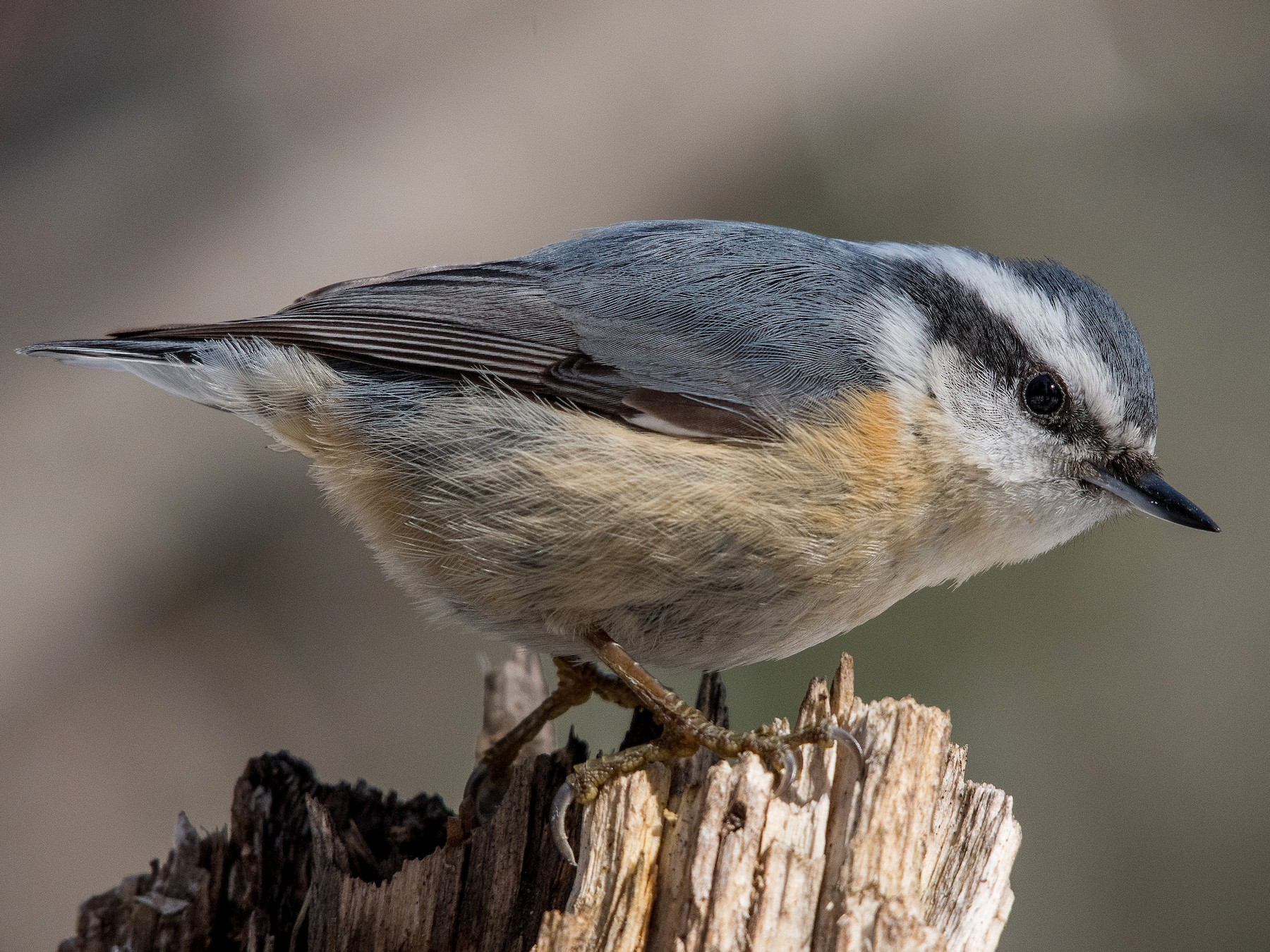 Red-breasted Nuthatch - Simon Boivin