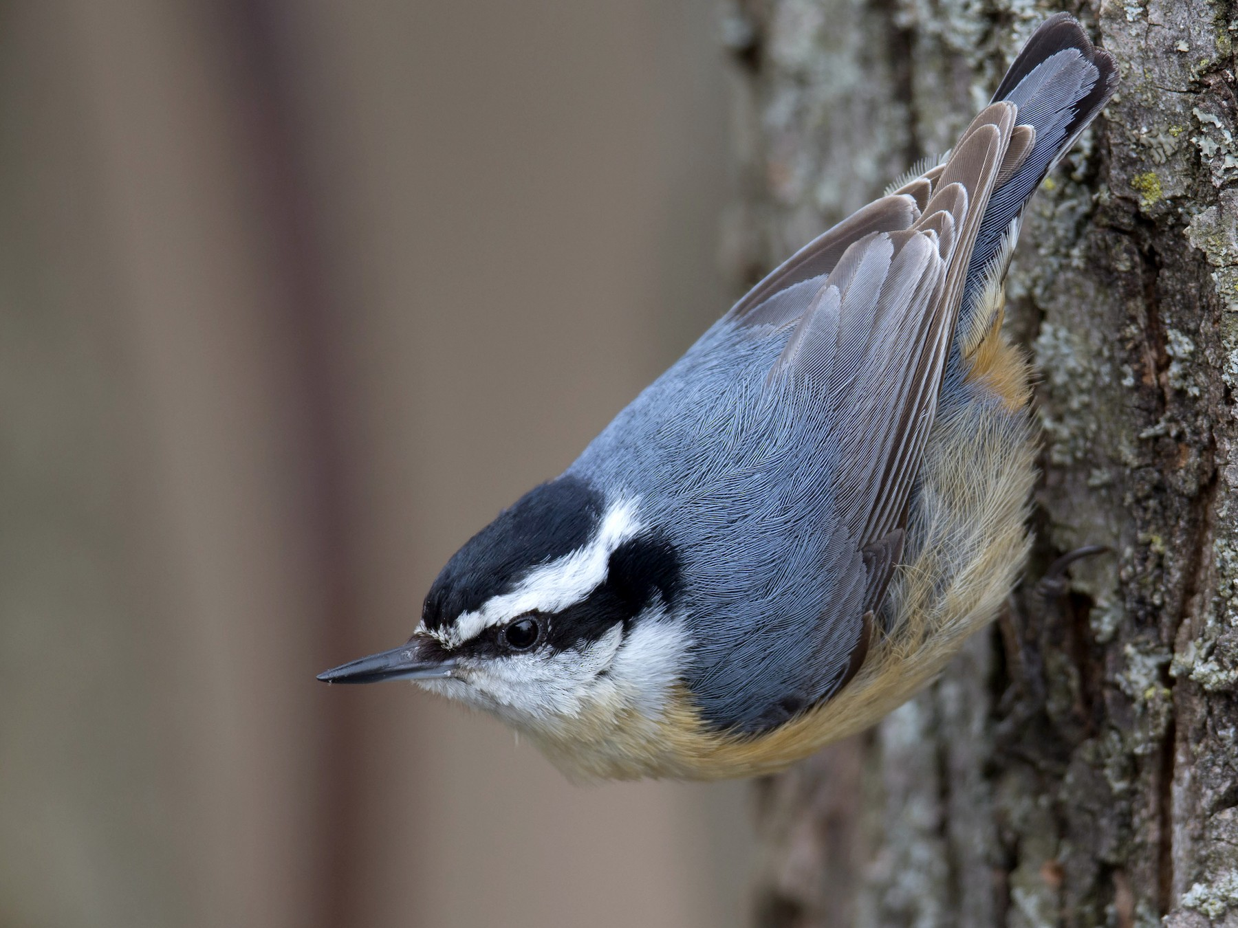 Red-breasted Nuthatch - Tom Devecseri