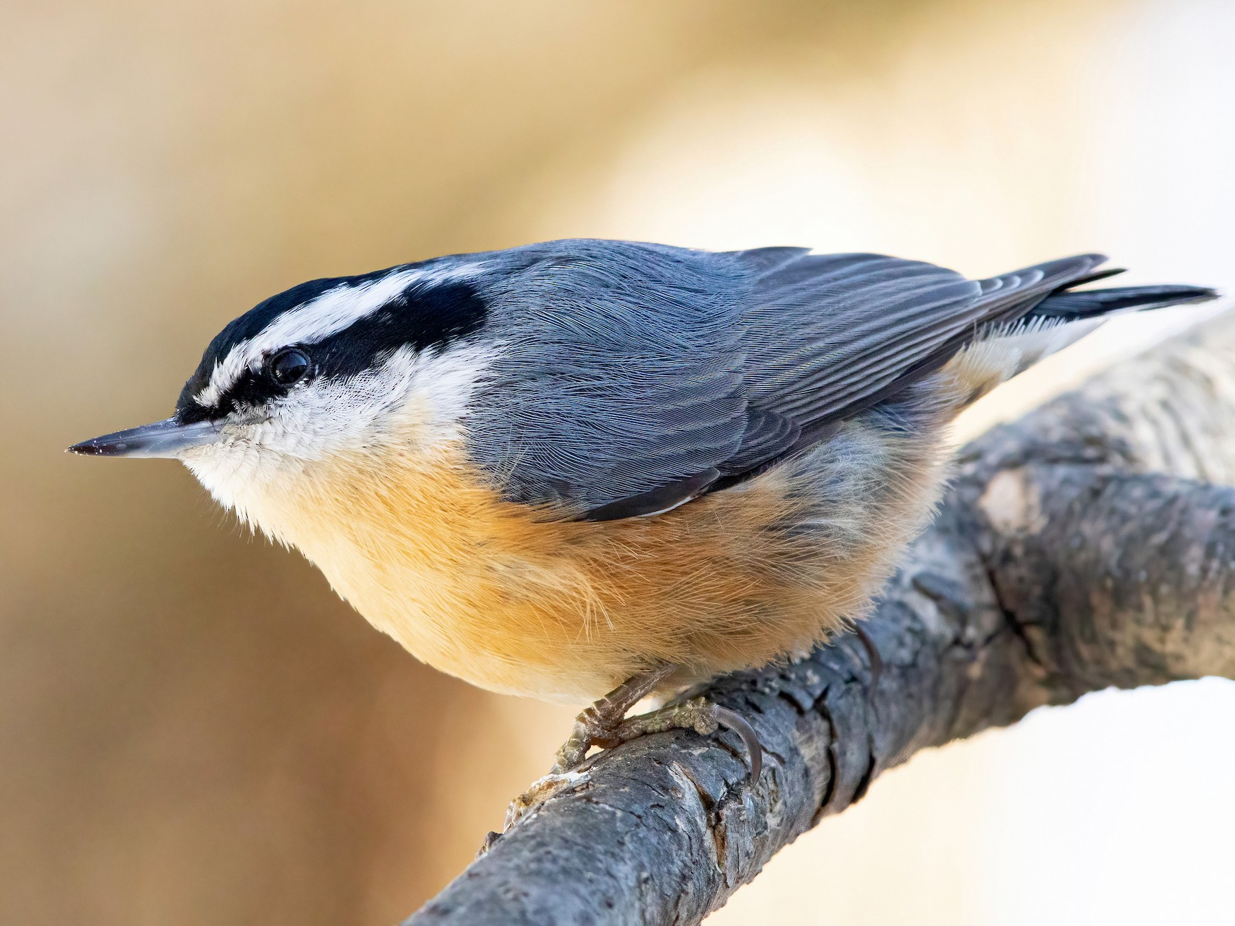 Red-breasted Nuthatch - Sam Zhang