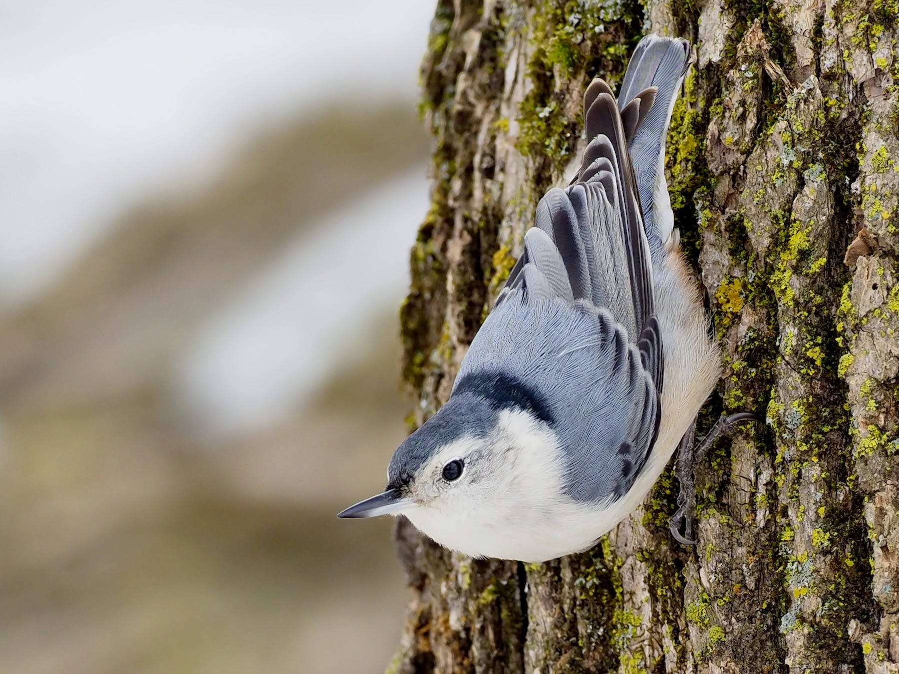 White-breasted Nuthatch - Denis Allard