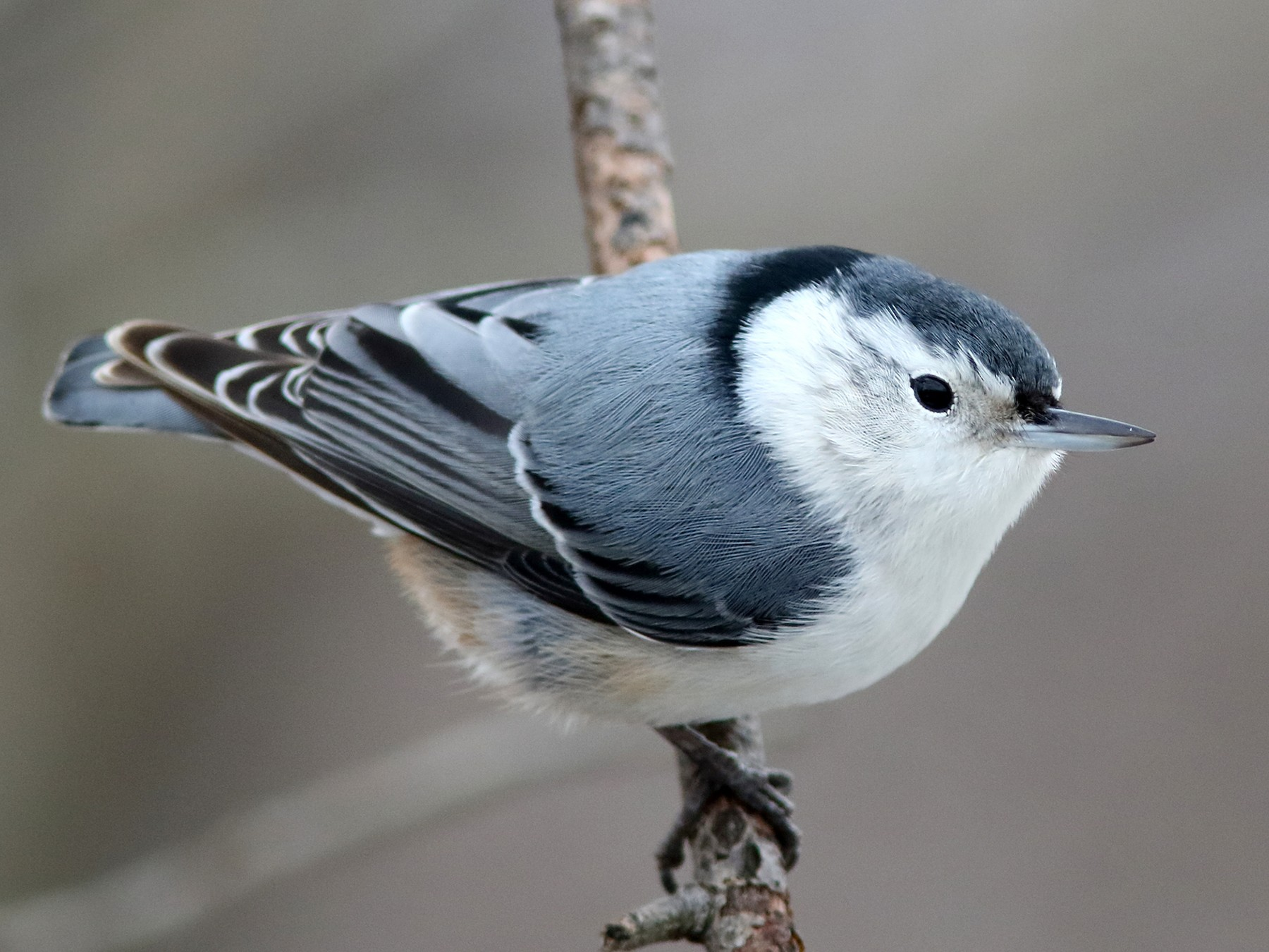 White-breasted Nuthatch - Frank Pinilla