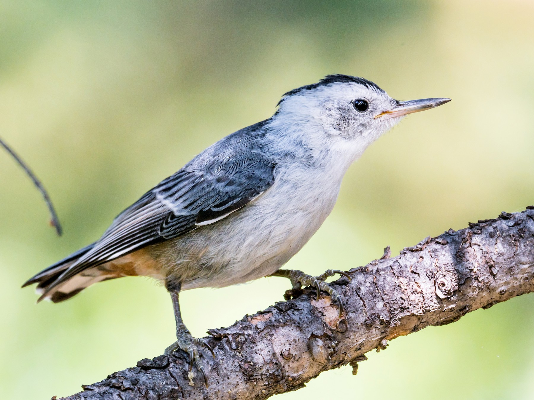 White-breasted Nuthatch - Jim Merritt