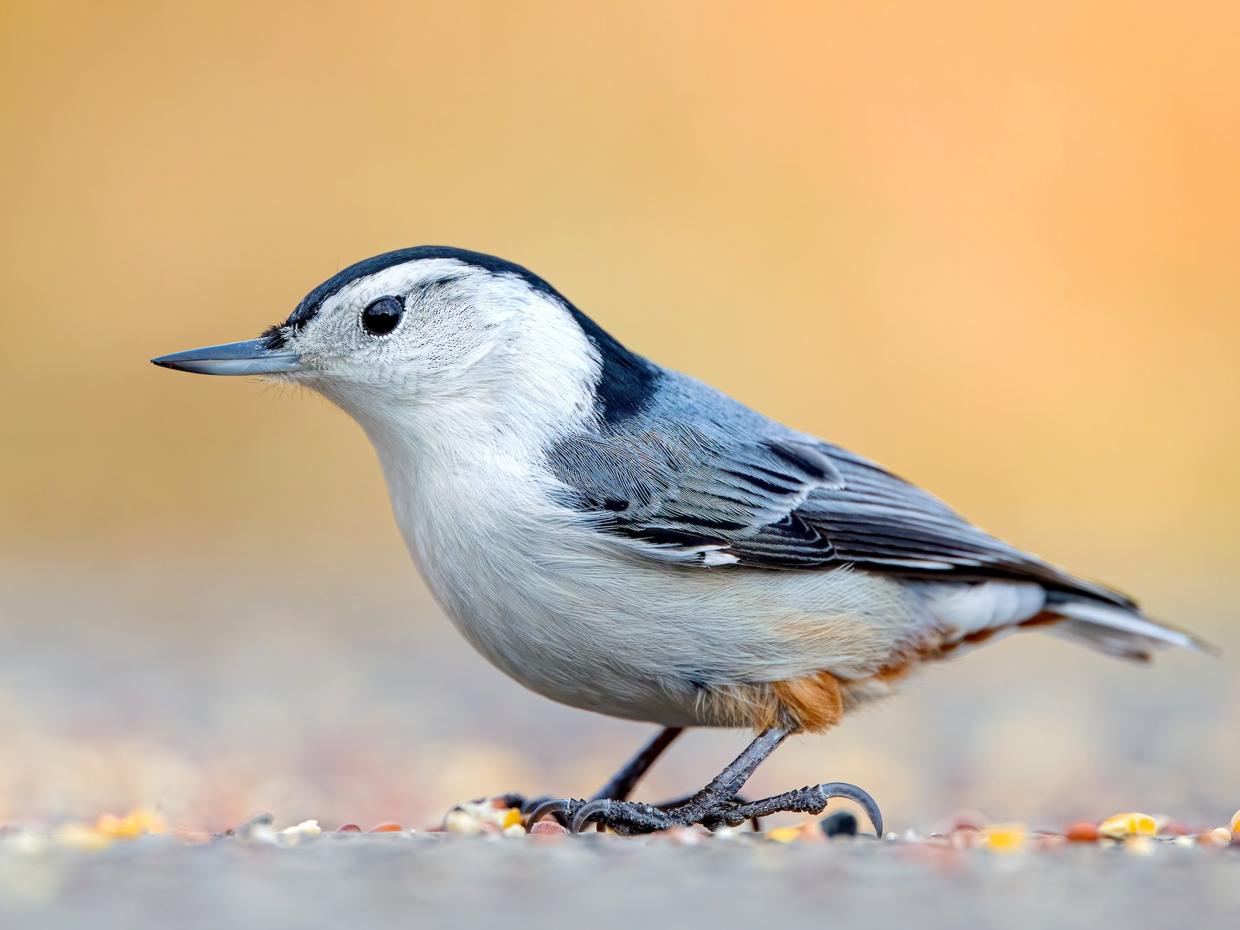 White-breasted Nuthatch - Ryan Sanderson