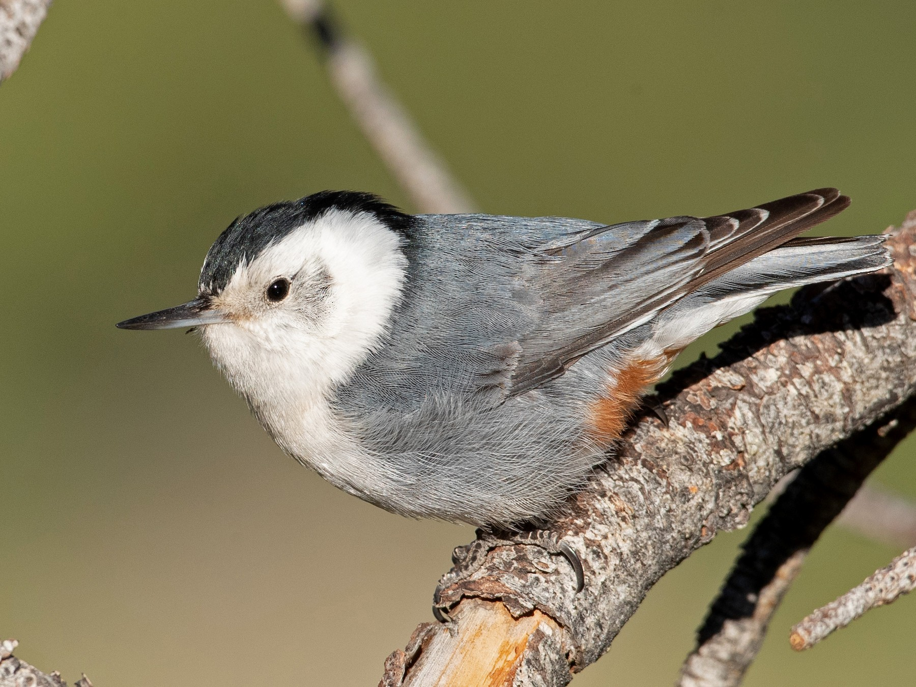 White-breasted Nuthatch - Ian Davies