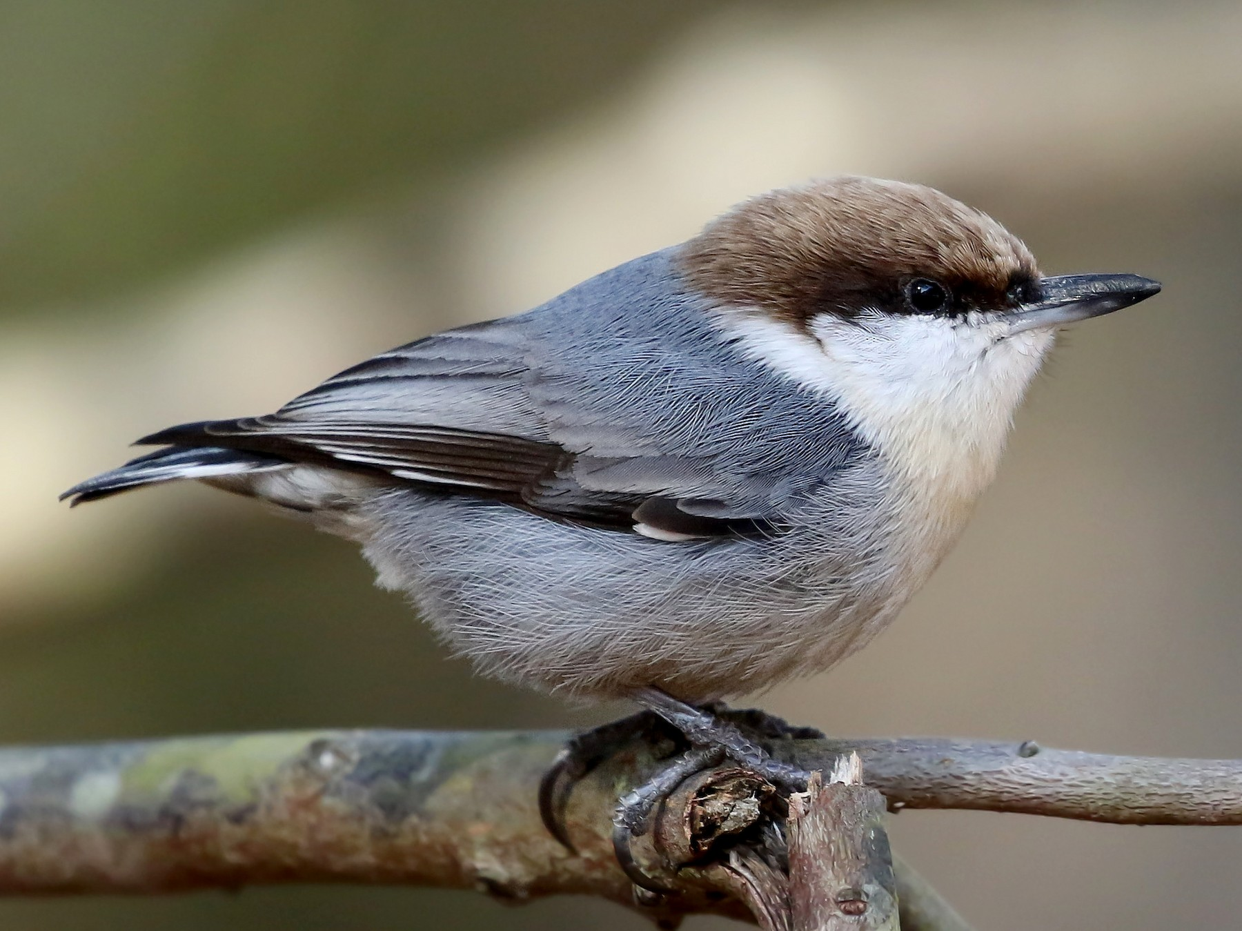 Brown-headed Nuthatch - Kojo Baidoo