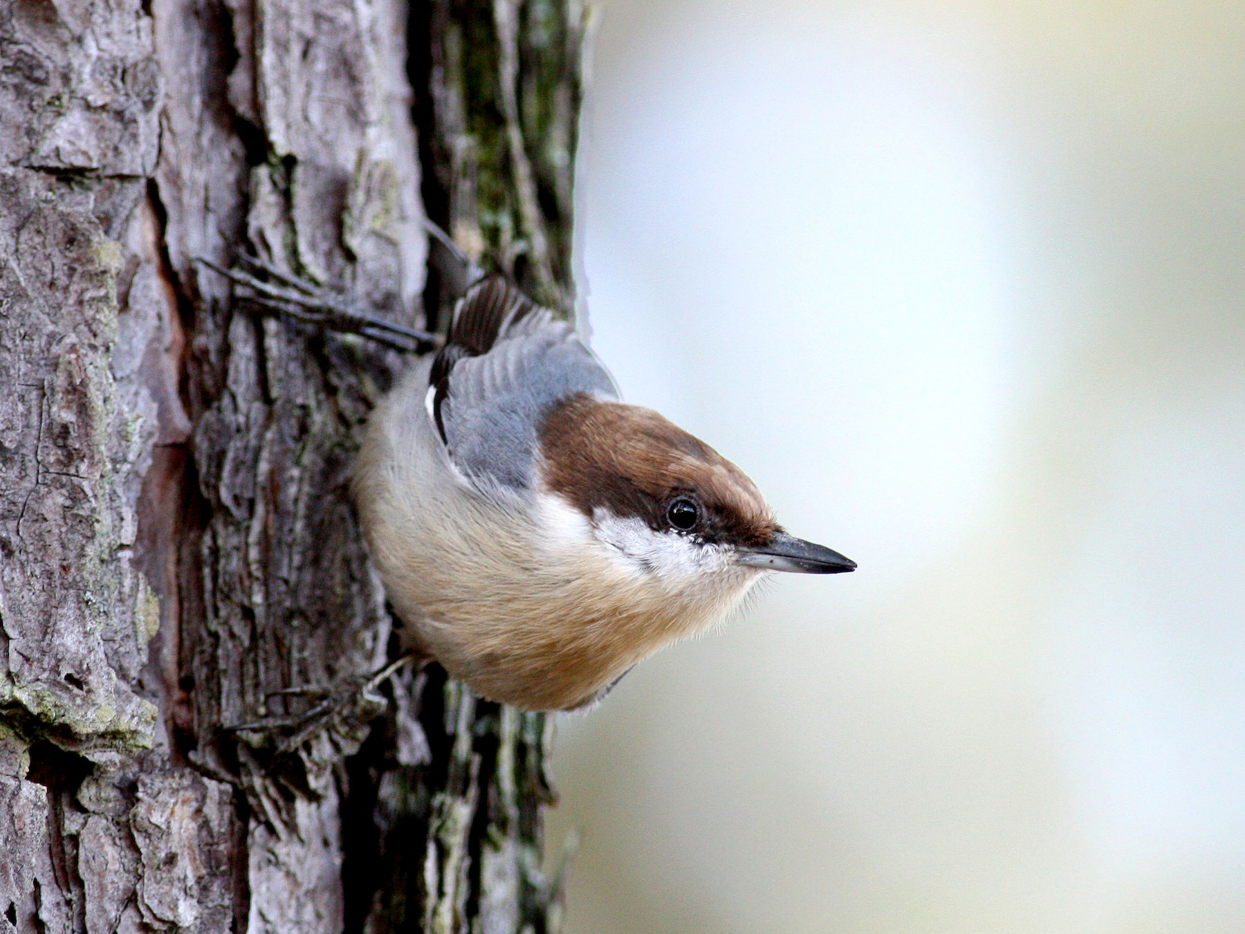 Brown-headed Nuthatch - Jay McGowan