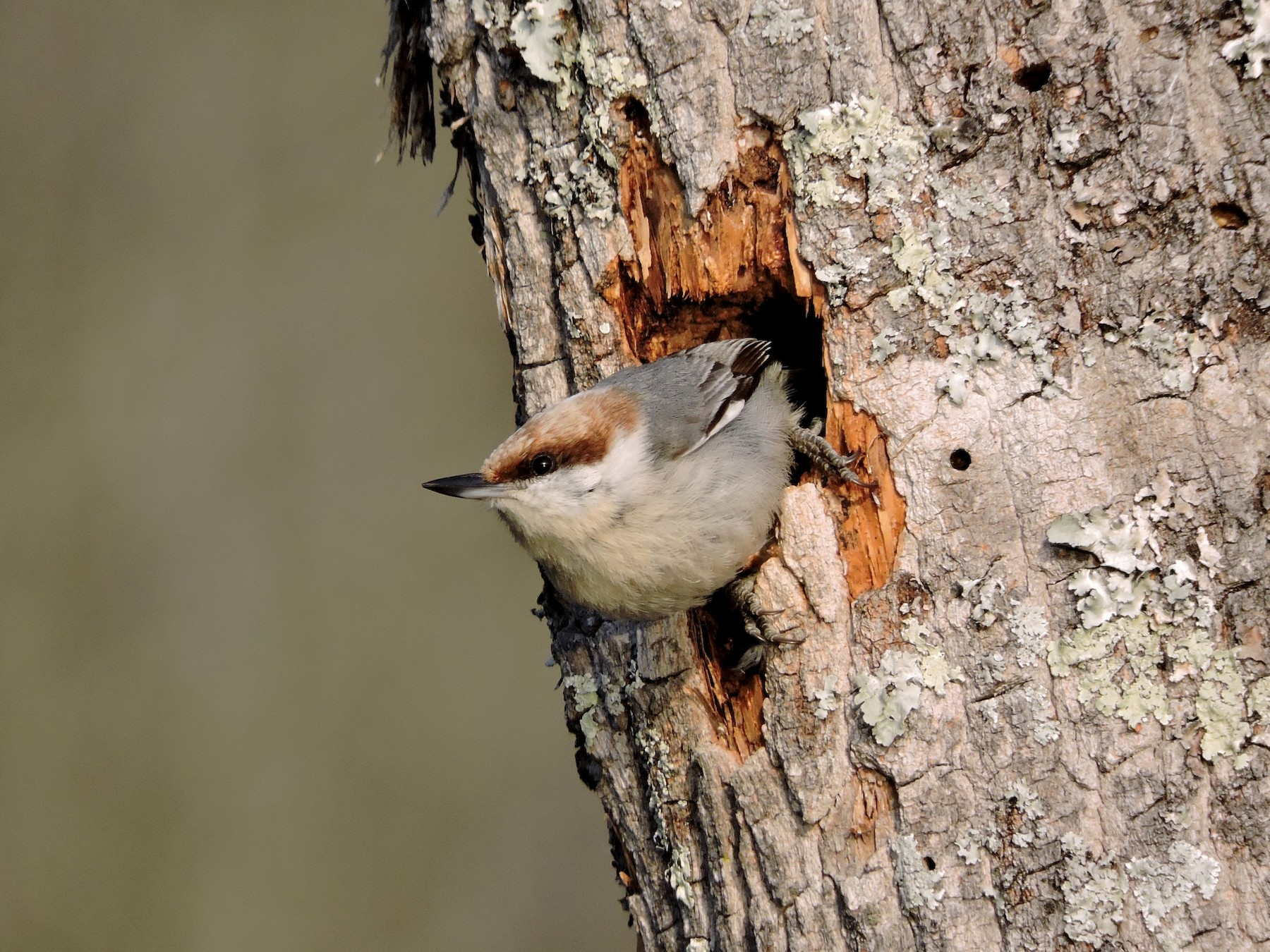 Brown-headed Nuthatch - Daniel Casey