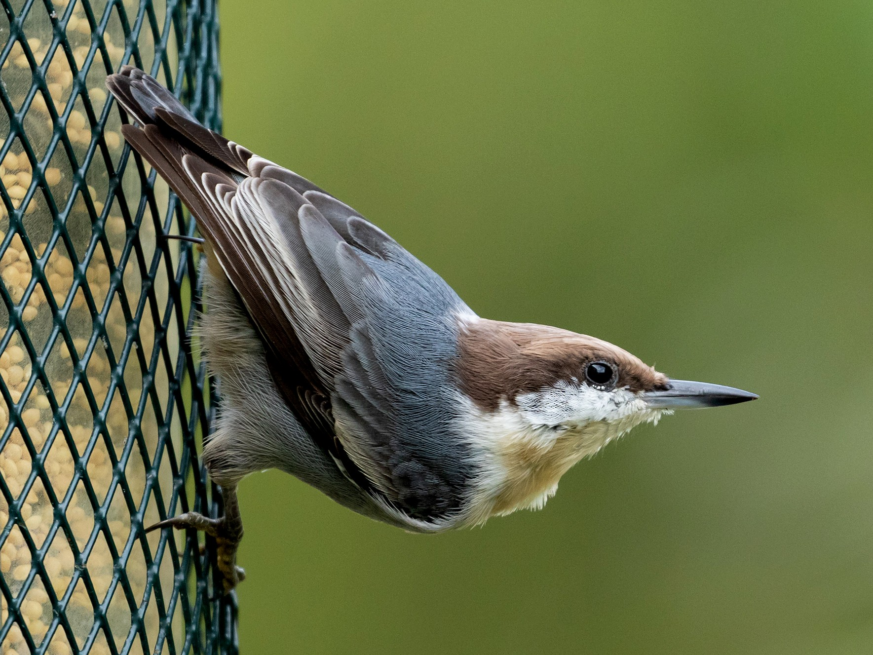 Brown-headed Nuthatch - Barry Rowan