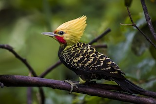 - Blond-crested Woodpecker